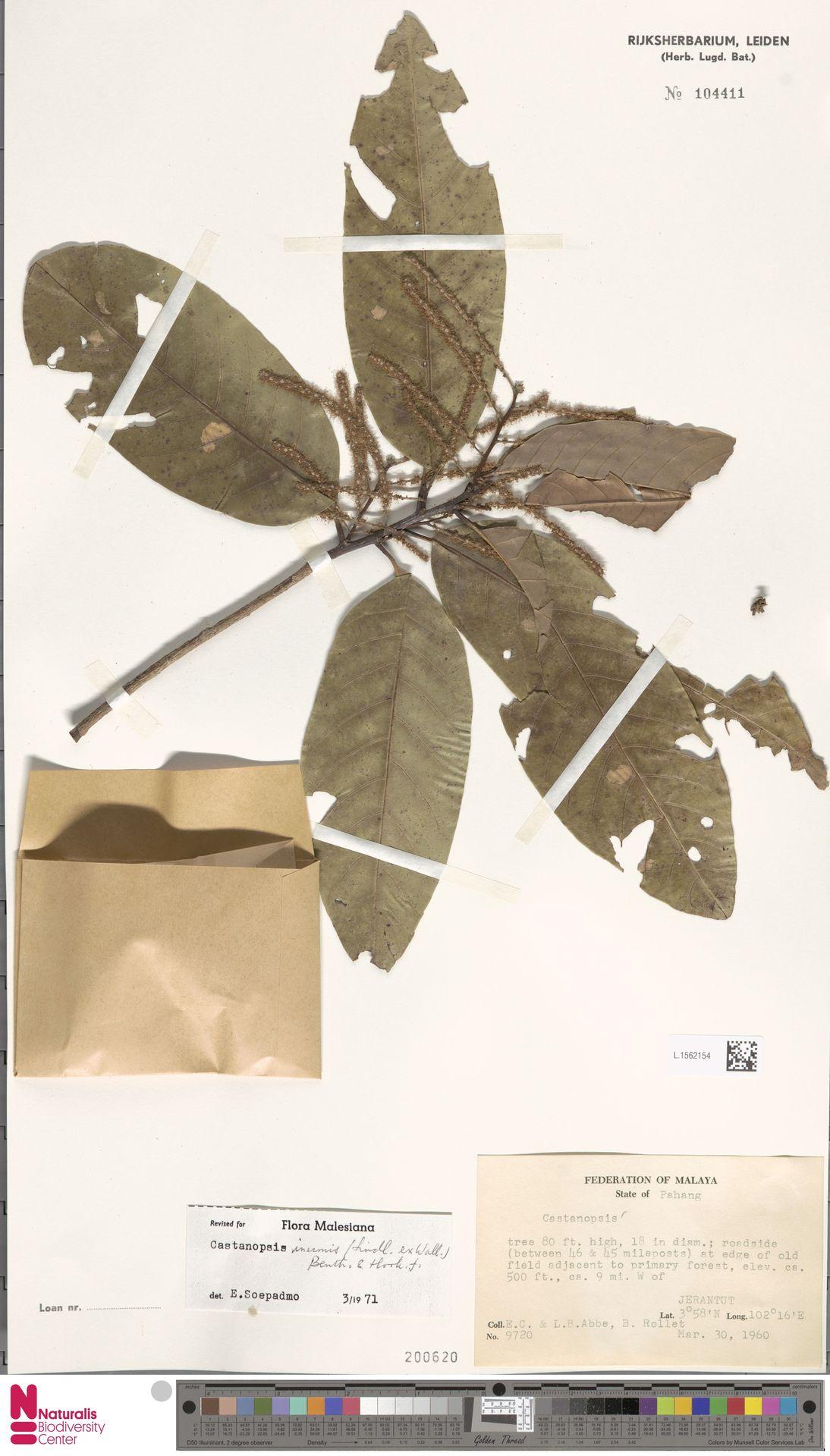 L.1562154 | Castanopsis inermis (Lindl.) Benth. & Hook.f.
