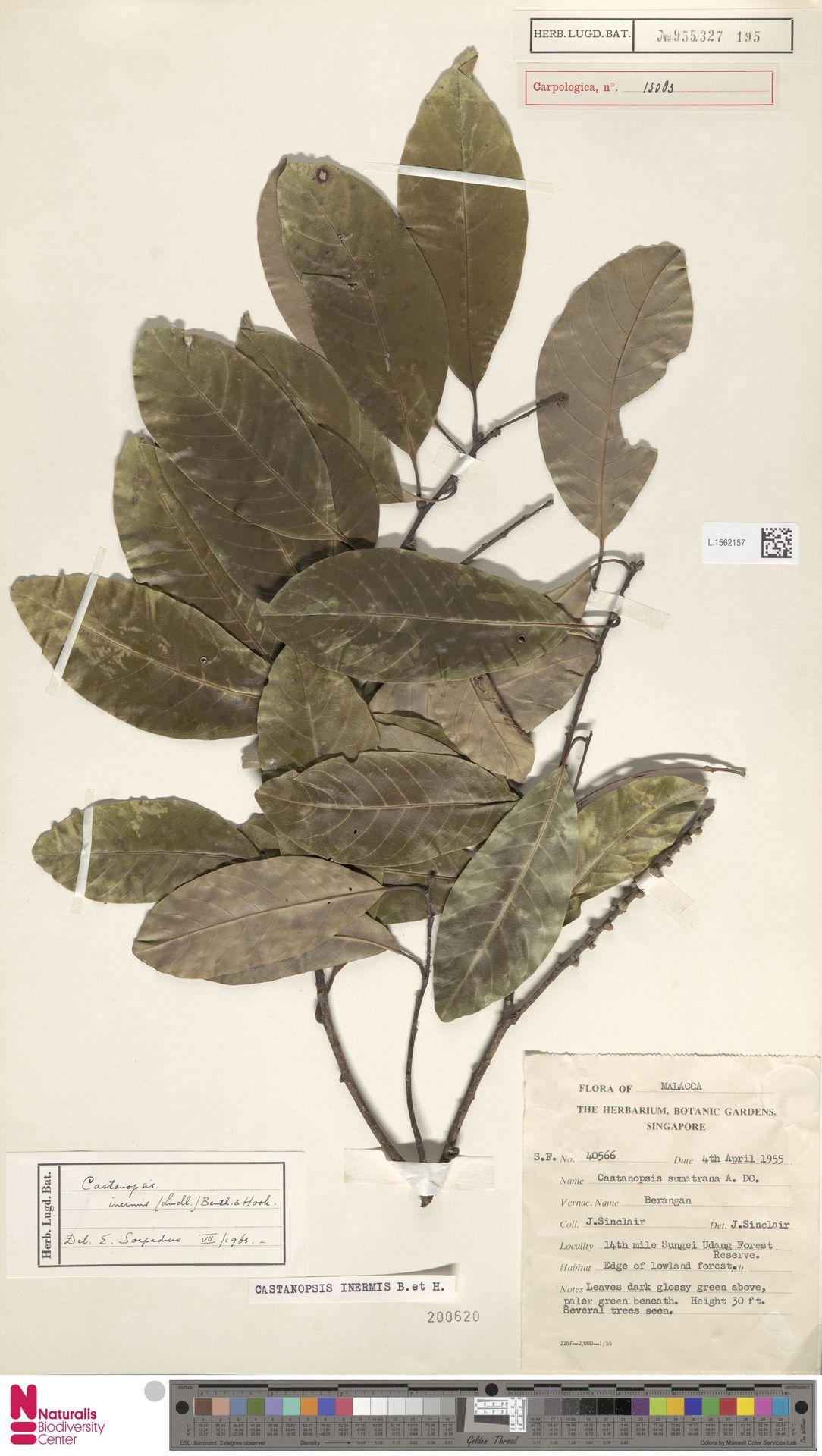 L.1562157   Castanopsis inermis (Lindl.) Benth. & Hook.f.