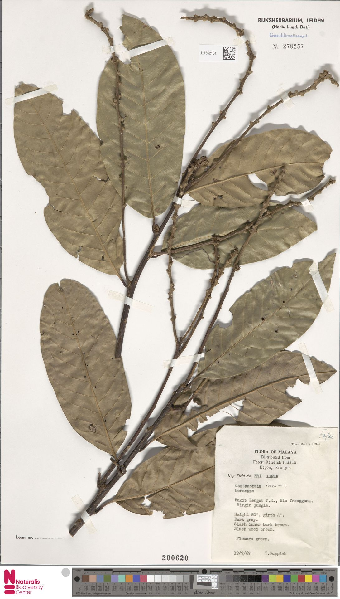 L.1562164 | Castanopsis inermis (Lindl.) Benth. & Hook.f.