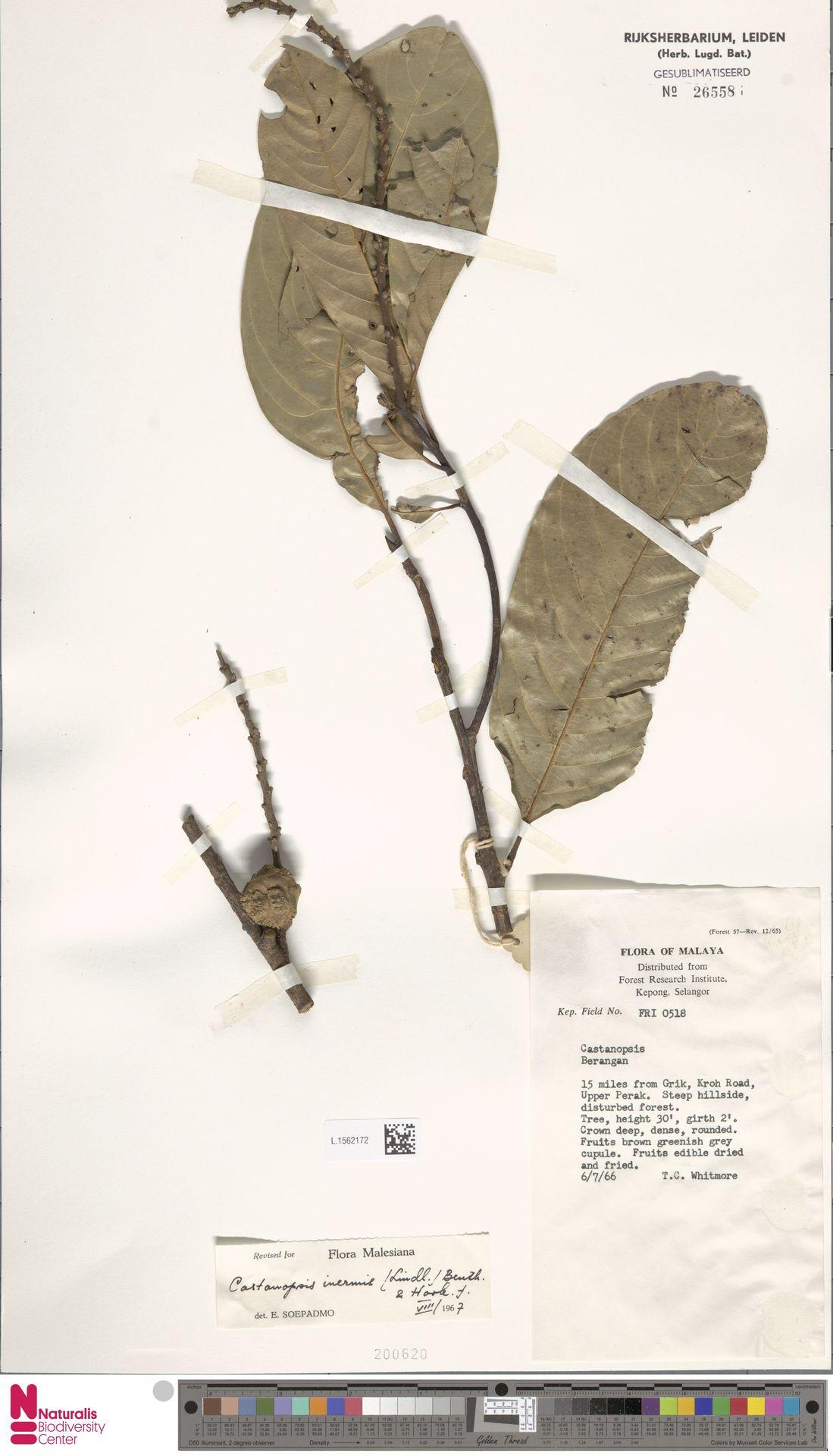 L.1562172 | Castanopsis inermis (Lindl.) Benth. & Hook.f.