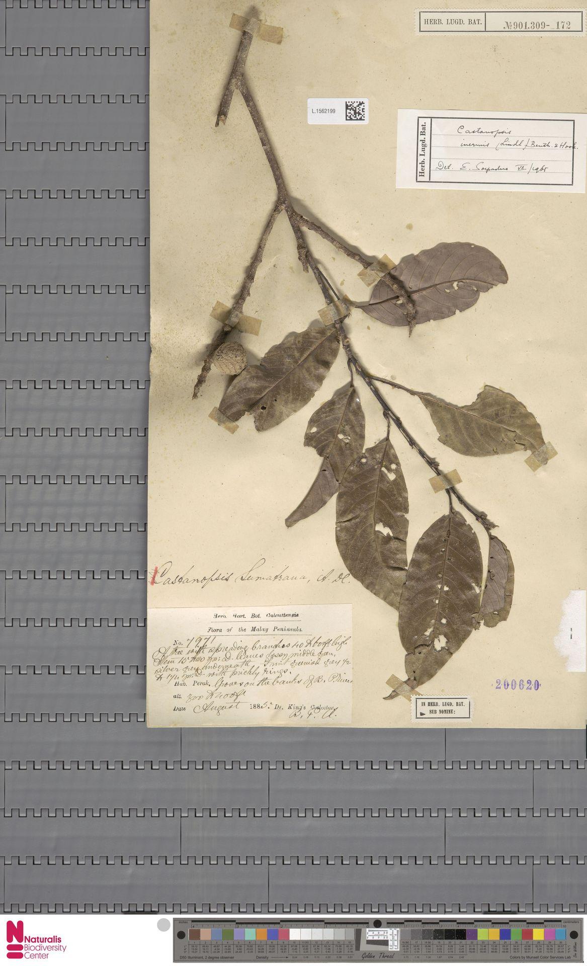 L.1562199 | Castanopsis inermis (Lindl.) Benth. & Hook.f.
