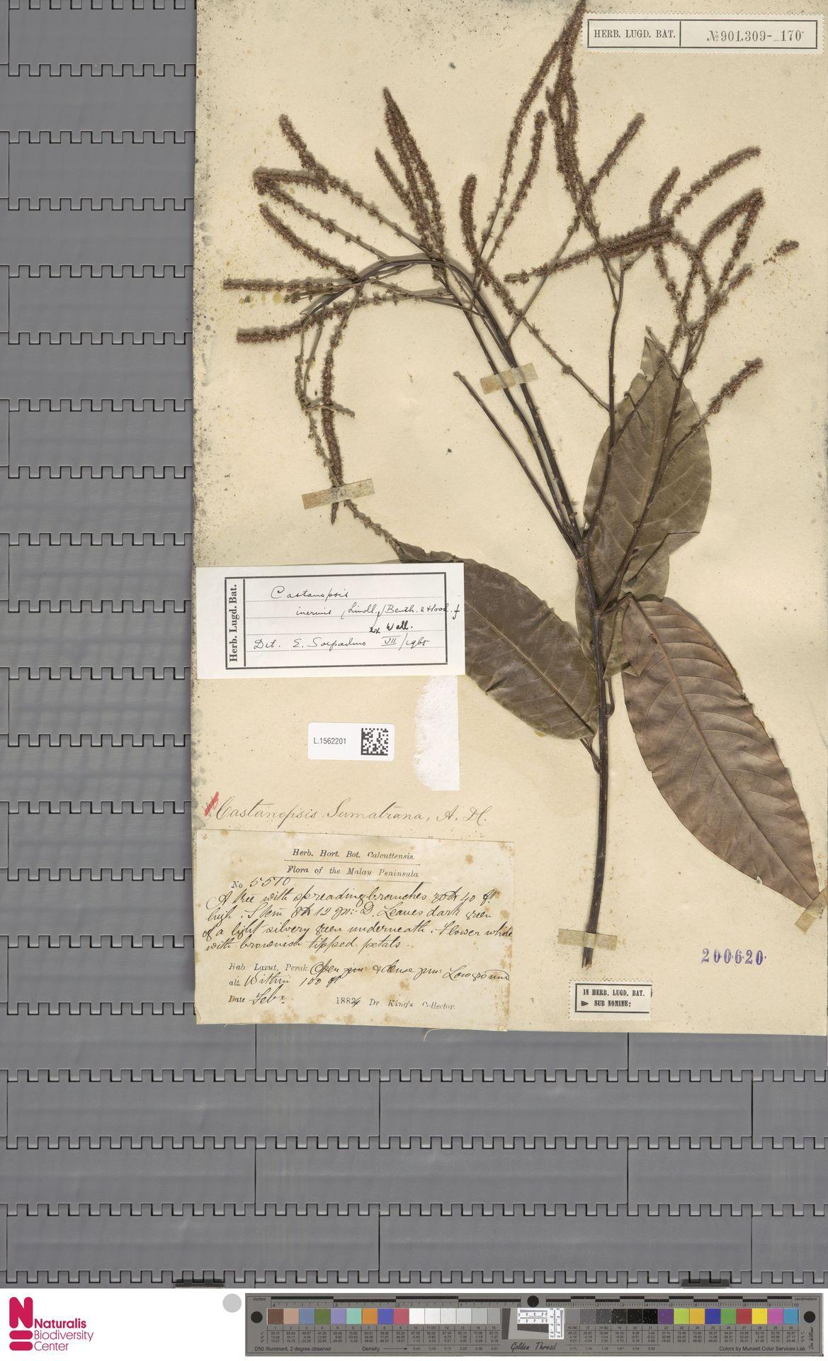 L.1562201 | Castanopsis inermis (Lindl.) Benth. & Hook.f.