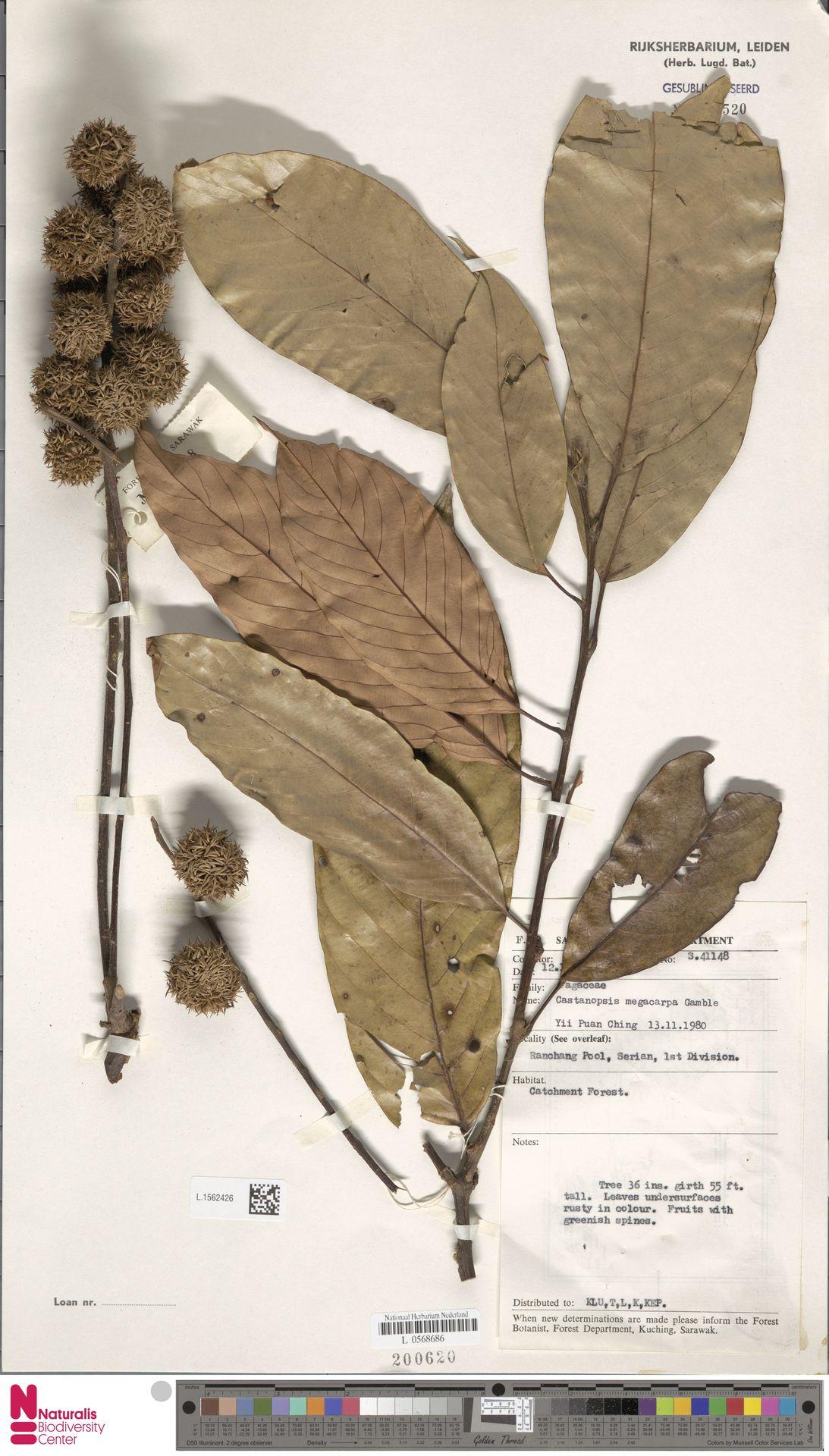 L.1562426 | Castanopsis megacarpa Gamble