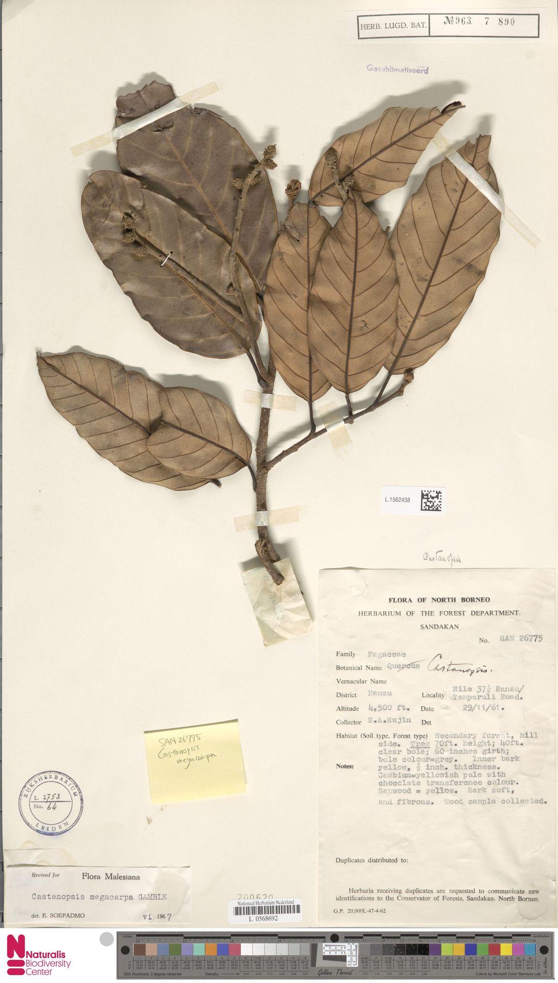 L.1562438 | Castanopsis megacarpa Gamble