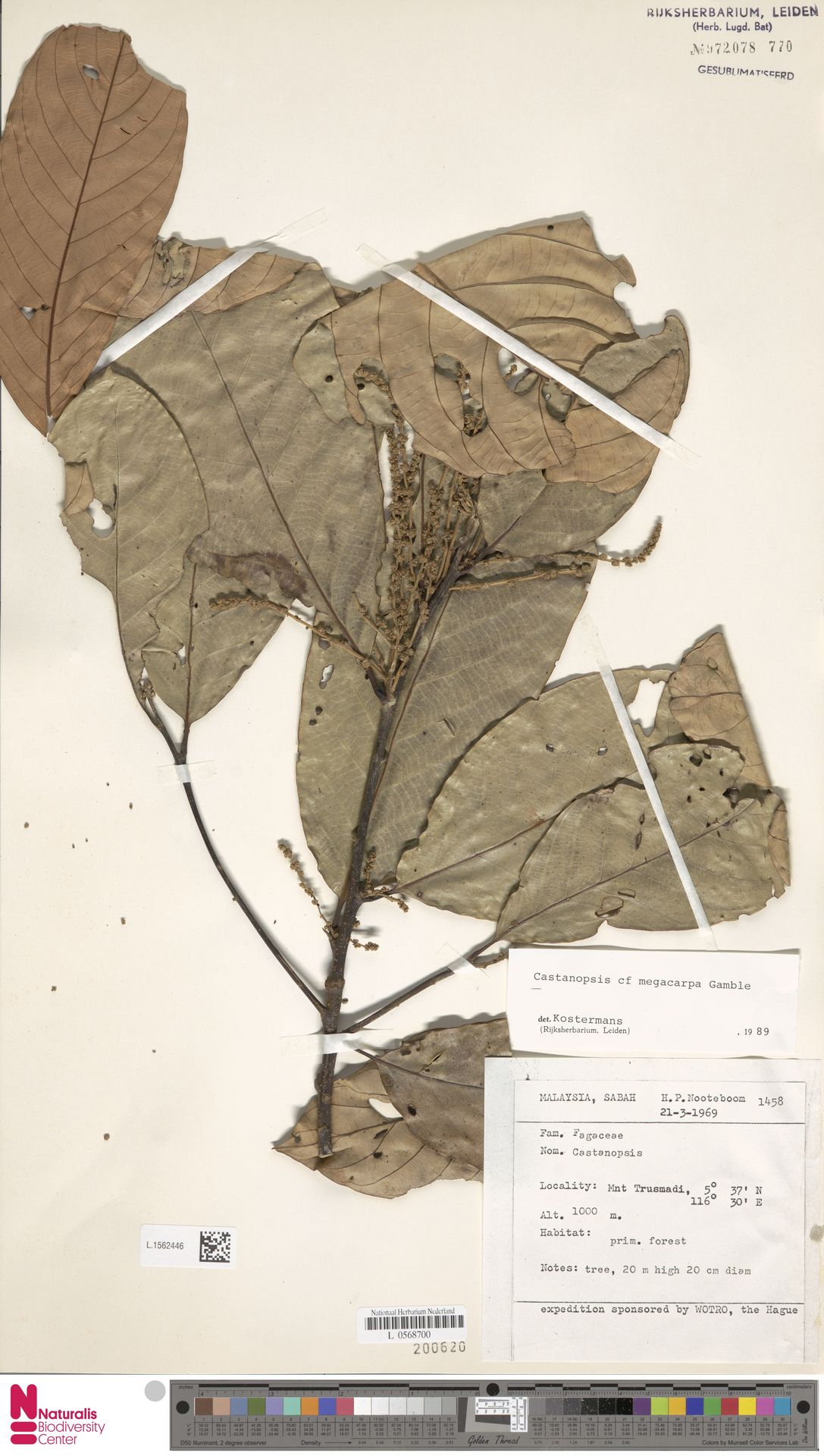 L.1562446   Castanopsis megacarpa Gamble