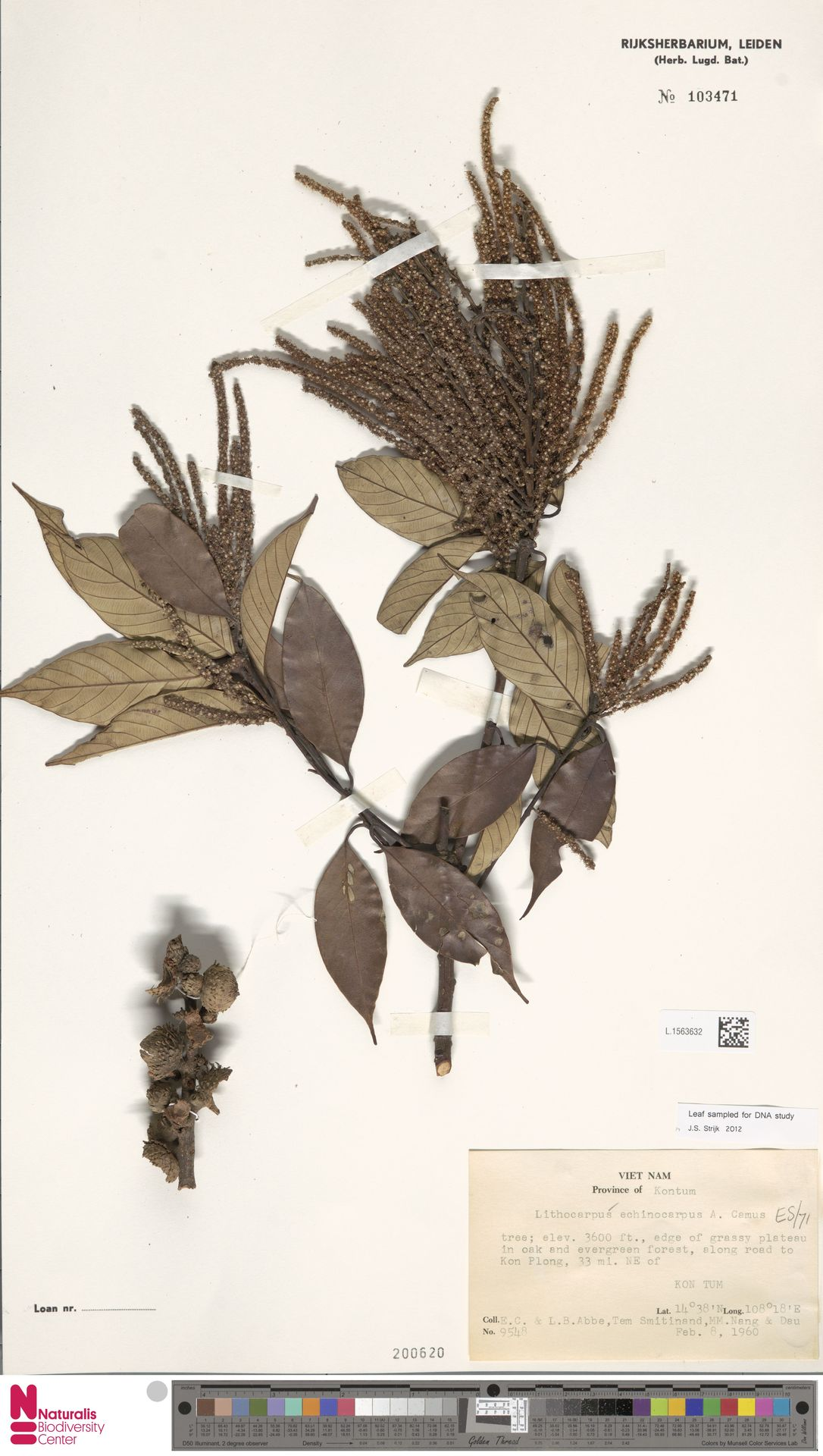 L.1563632 | Lithocarpus echinocarpus (Hickel & A.Camus) A.Camus