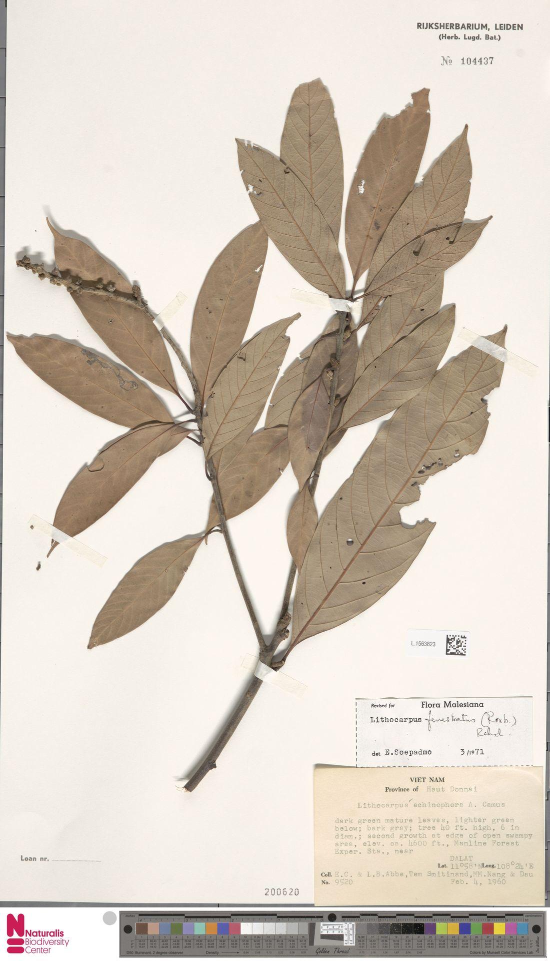 L.1563823 | Lithocarpus fenestratus (Roxb.) Rehder