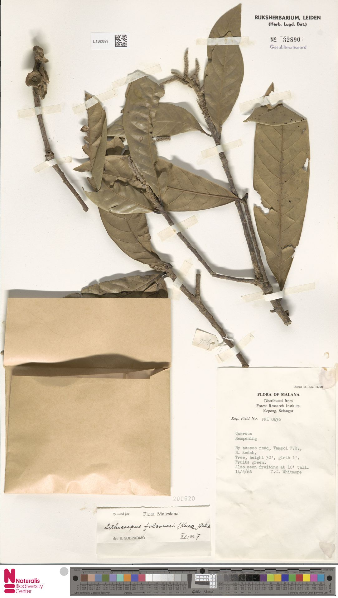 L.1563829 | Lithocarpus falconeri (Kurz) Rehder