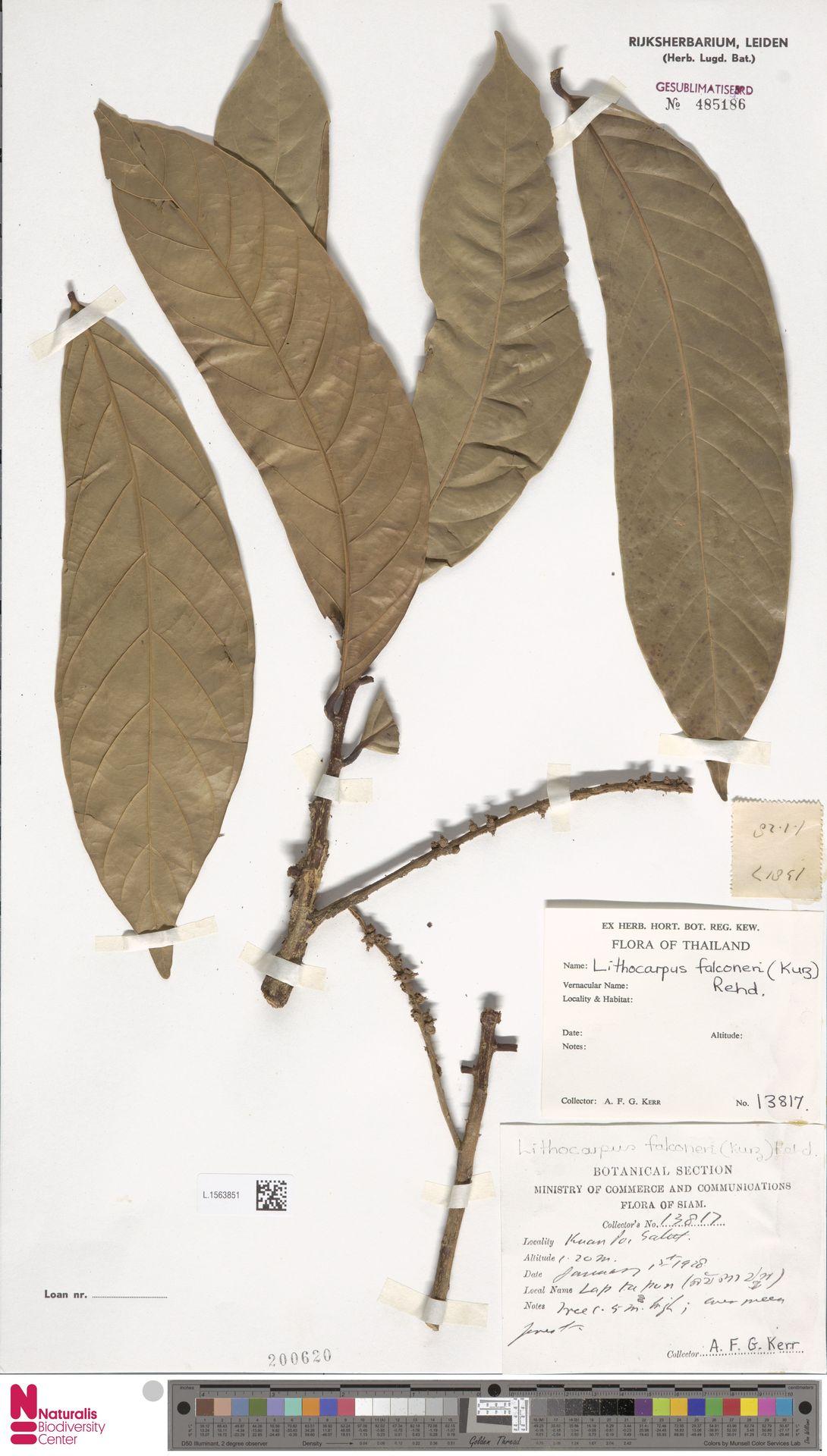 L.1563851   Lithocarpus falconeri (Kurz) Rehder