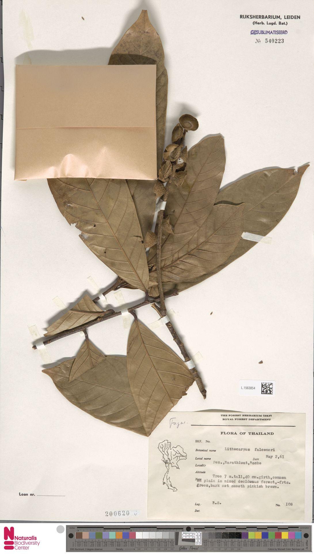 L.1563854 | Lithocarpus falconeri (Kurz) Rehder