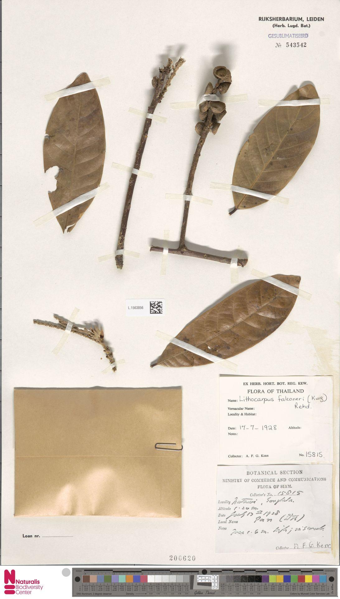 L.1563856 | Lithocarpus falconeri (Kurz) Rehder