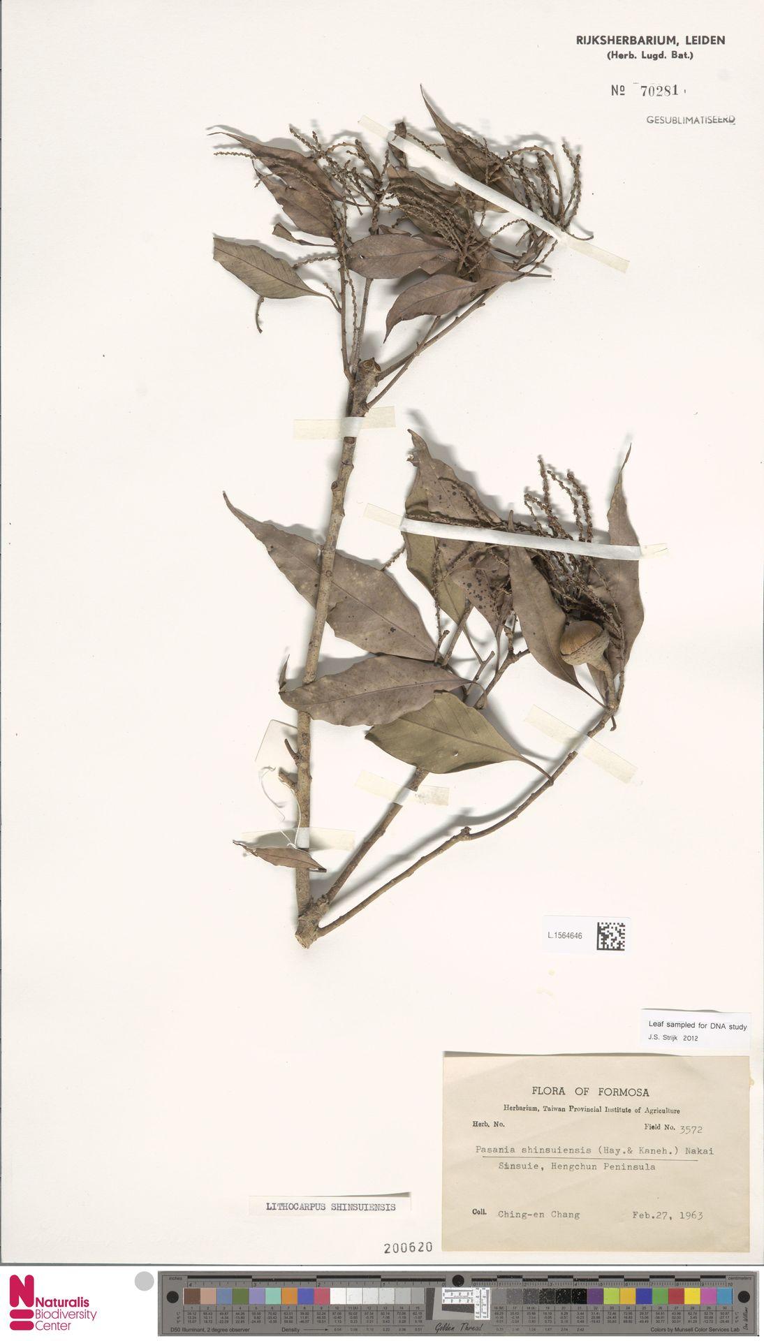 L.1564646 | Lithocarpus shinsuiensis Hayata & Kaneh.