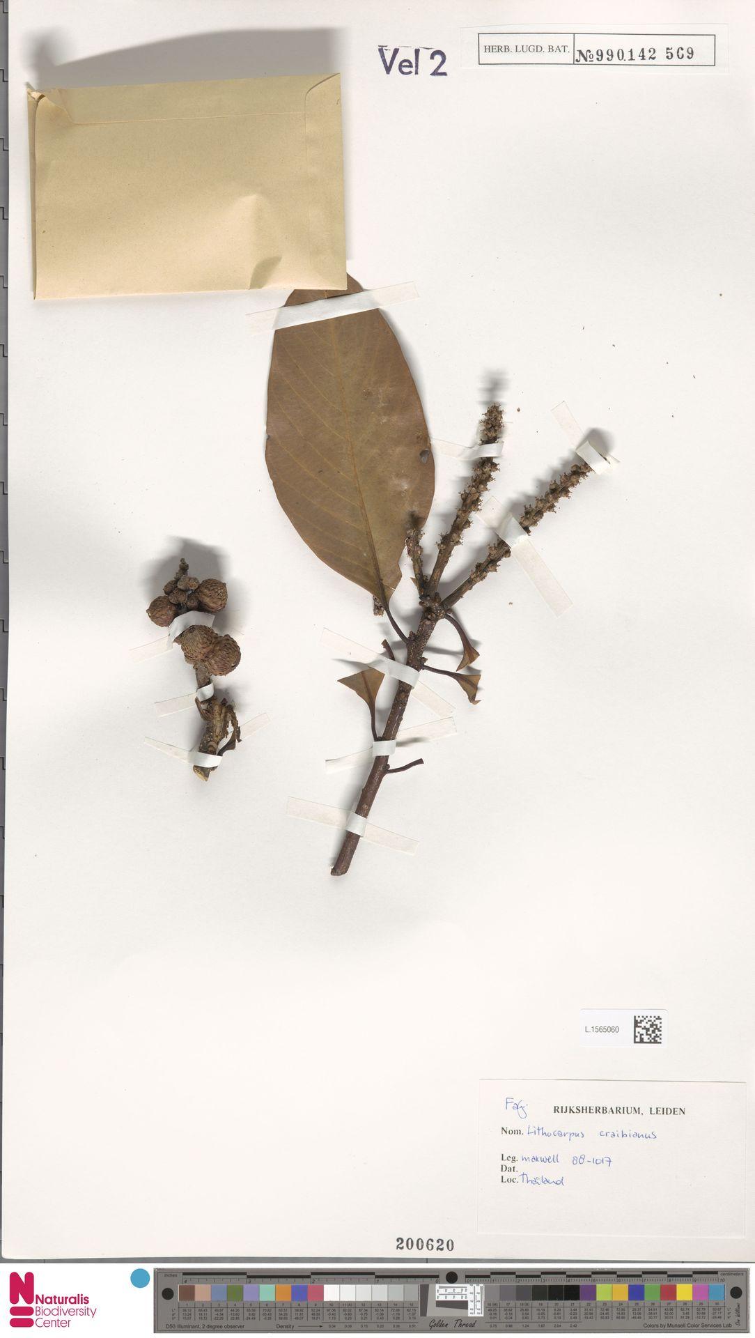 L.1565060   Lithocarpus craibianus Barnett