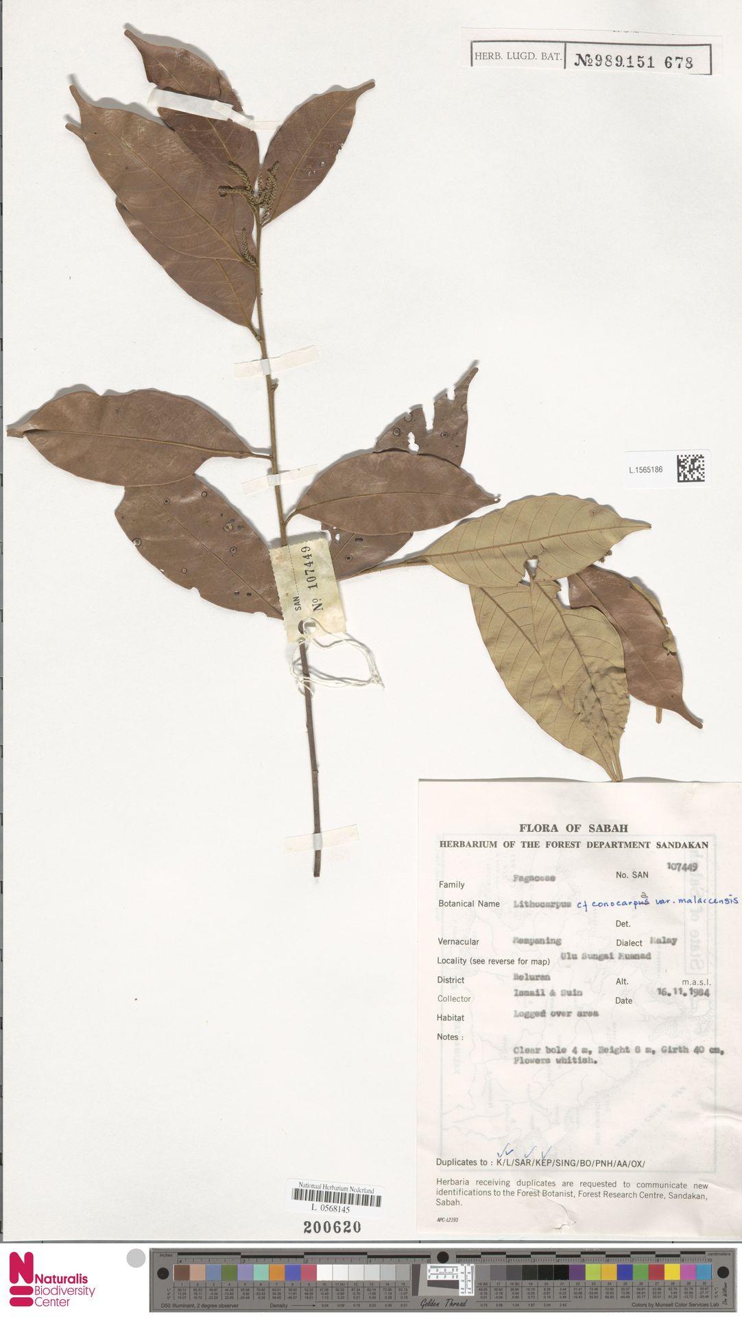 L.1565186 | Lithocarpus conocarpus var. malaccensis A.Camus