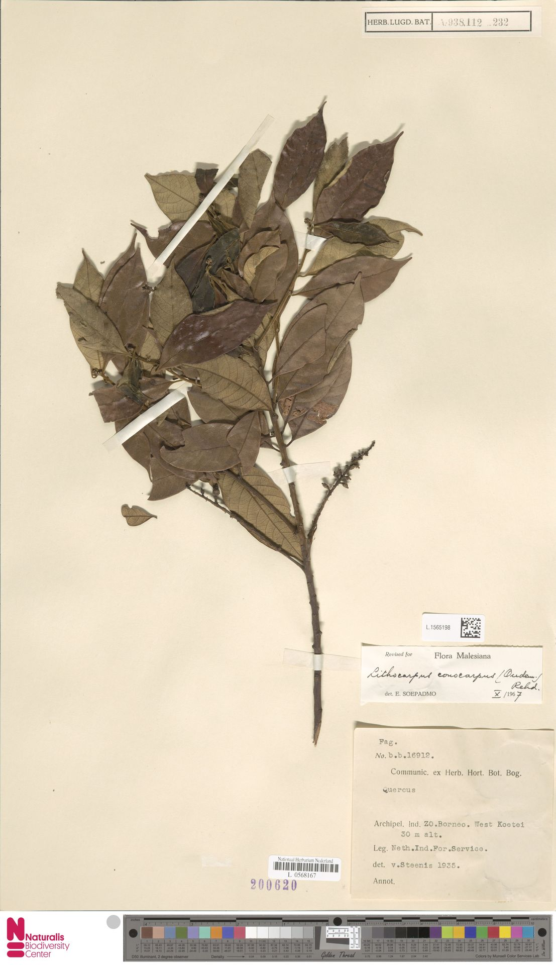 L.1565198 | Lithocarpus conocarpus (Oudem.) Rehder