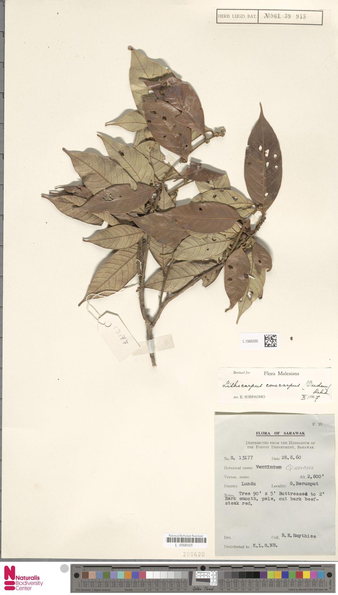 L.1565200 | Lithocarpus conocarpus (Oudem.) Rehder
