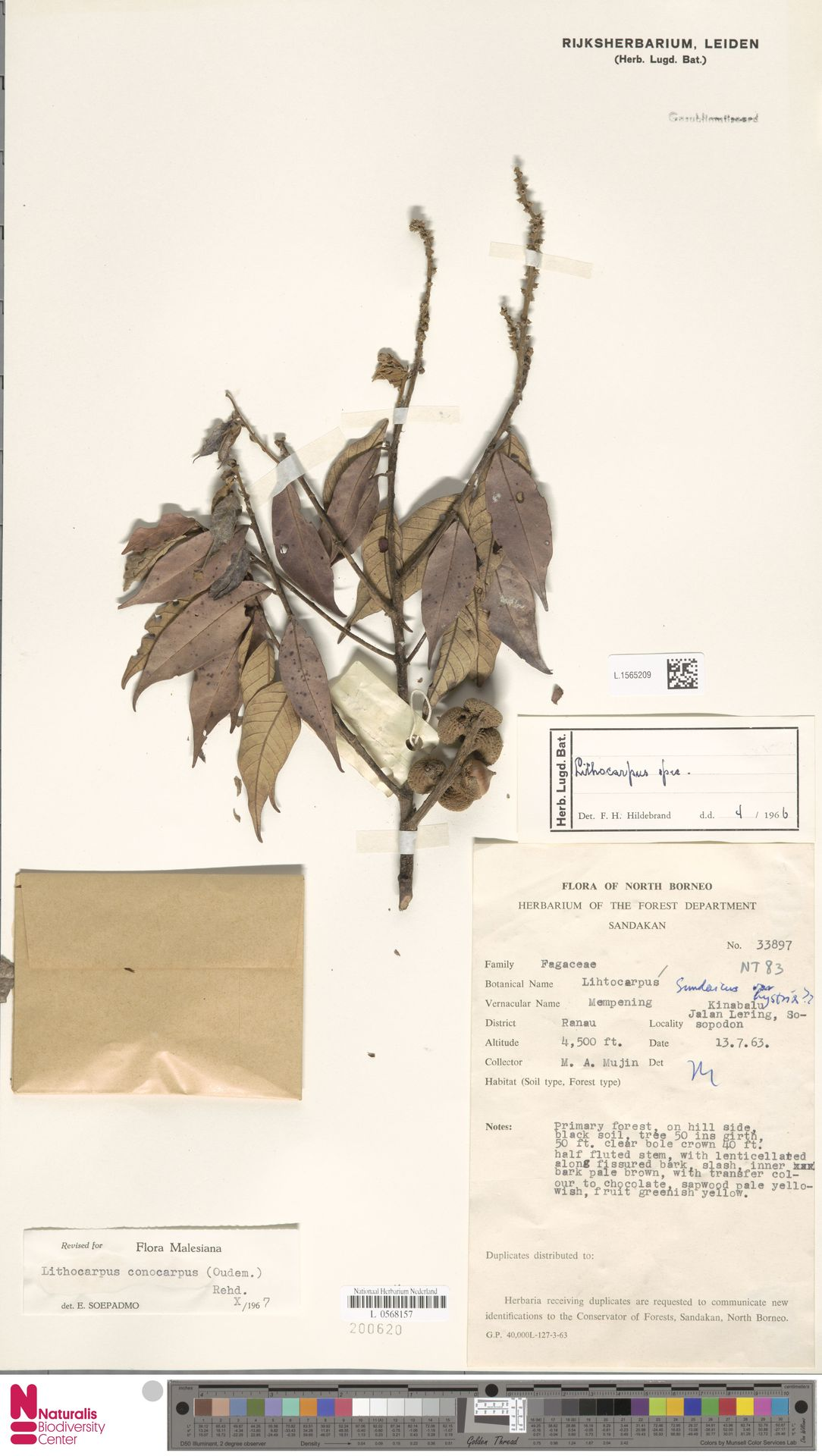 L.1565209   Lithocarpus conocarpus (Oudem.) Rehder