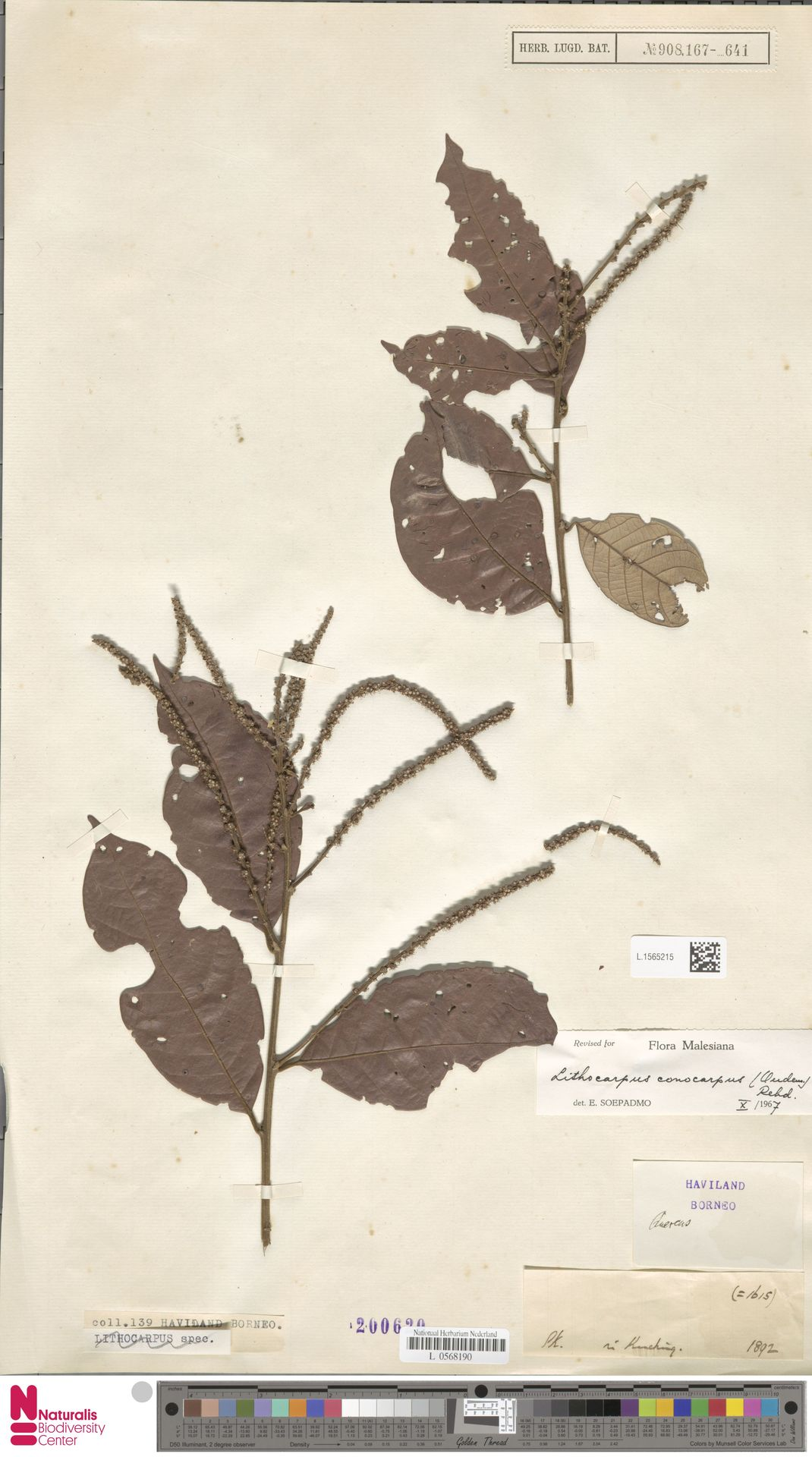 L.1565215 | Lithocarpus conocarpus (Oudem.) Rehder