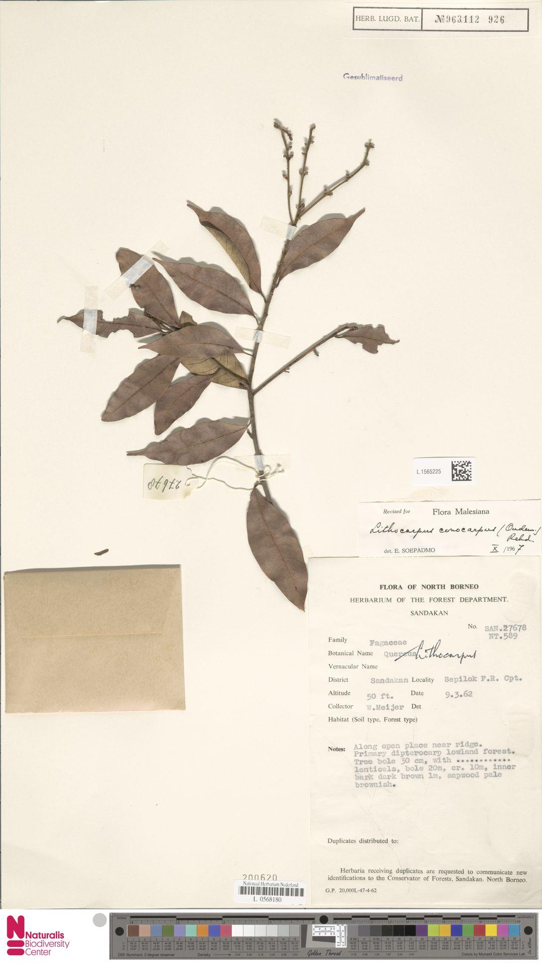 L.1565225 | Lithocarpus conocarpus (Oudem.) Rehder