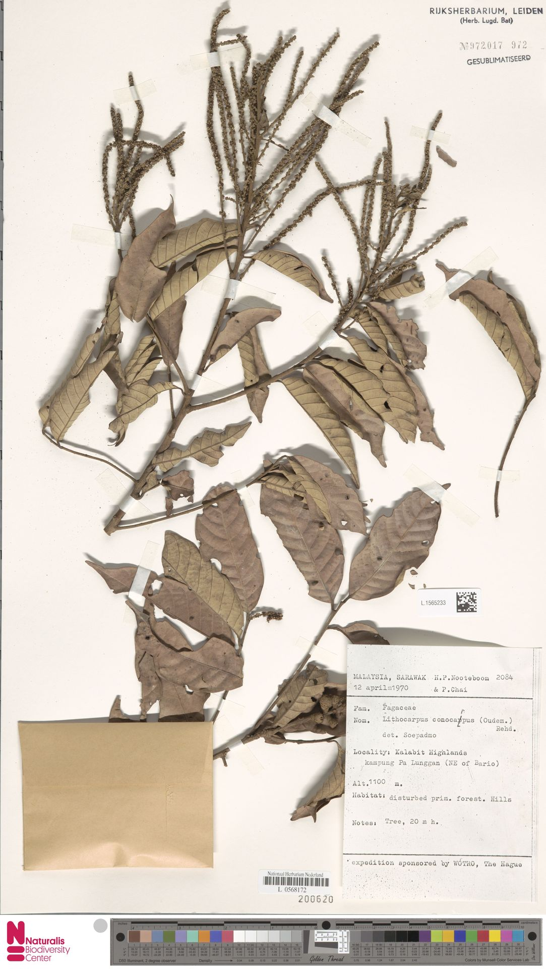 L.1565233 | Lithocarpus conocarpus (Oudem.) Rehder
