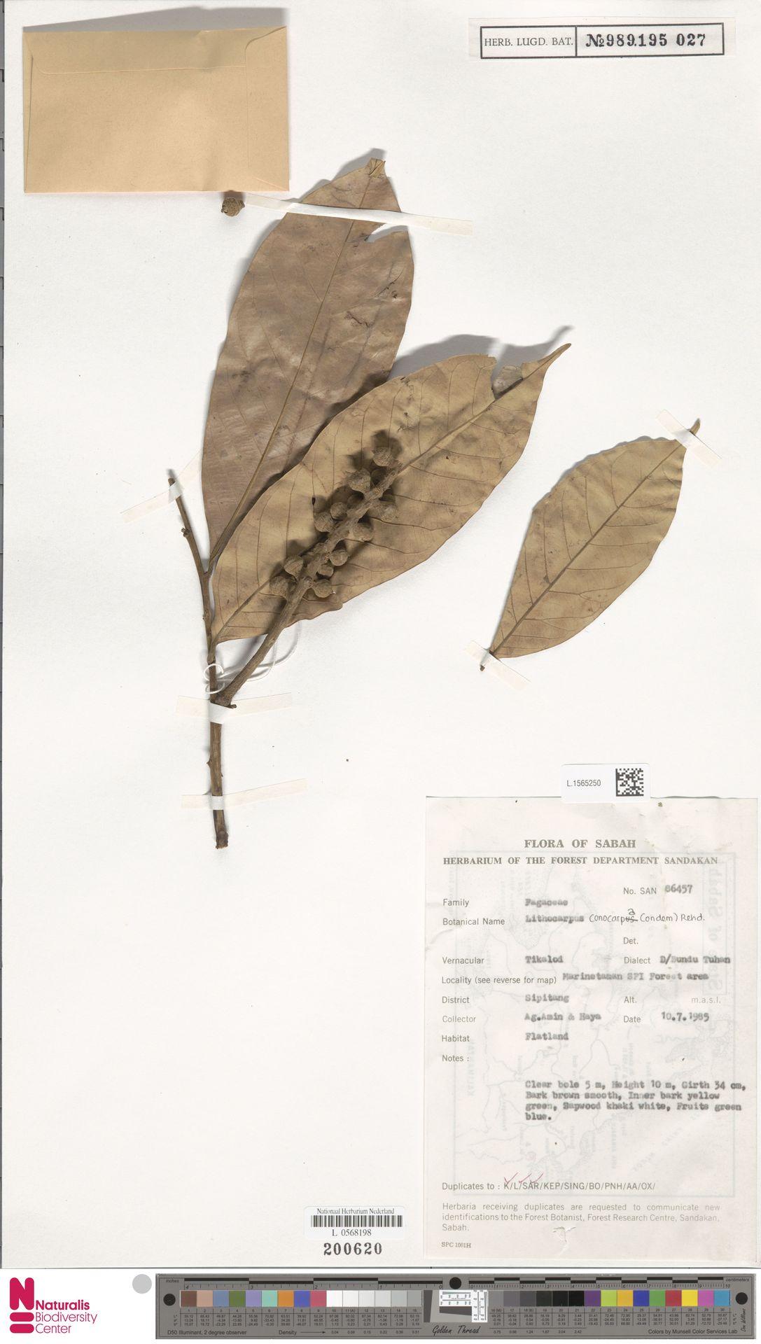 L.1565250 | Lithocarpus conocarpus (Oudem.) Rehder