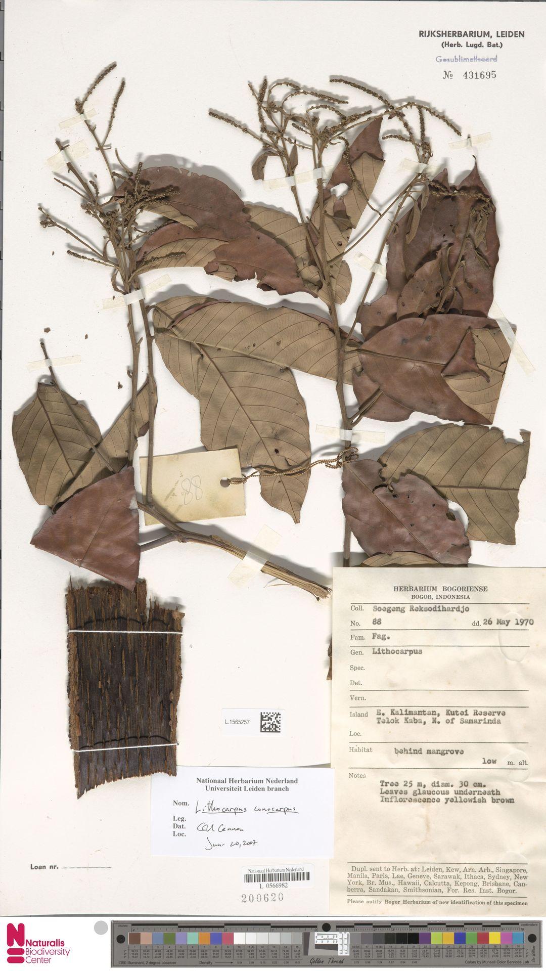 L.1565257 | Lithocarpus conocarpus (Oudem.) Rehder
