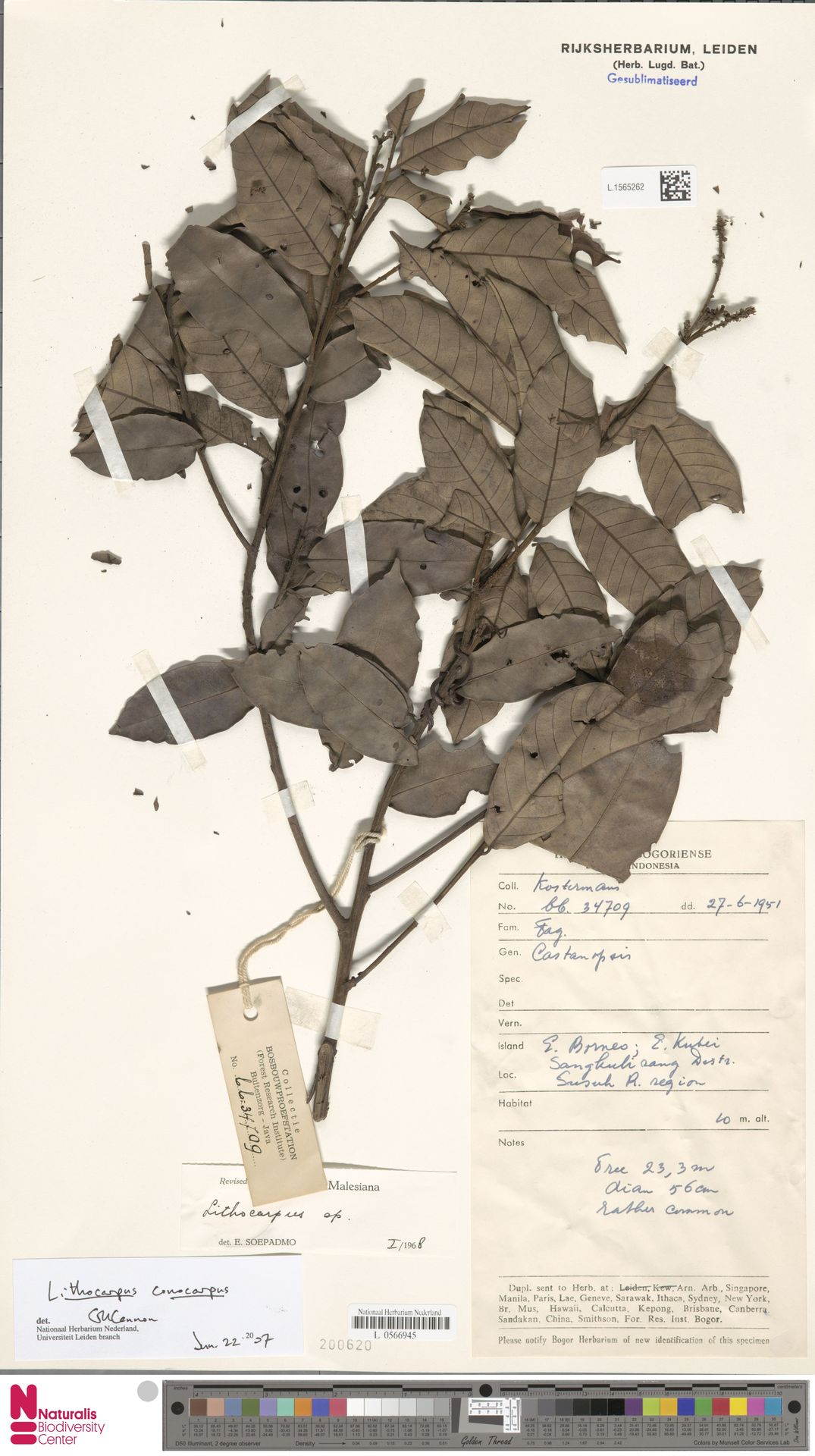 L.1565262 | Lithocarpus conocarpus (Oudem.) Rehder
