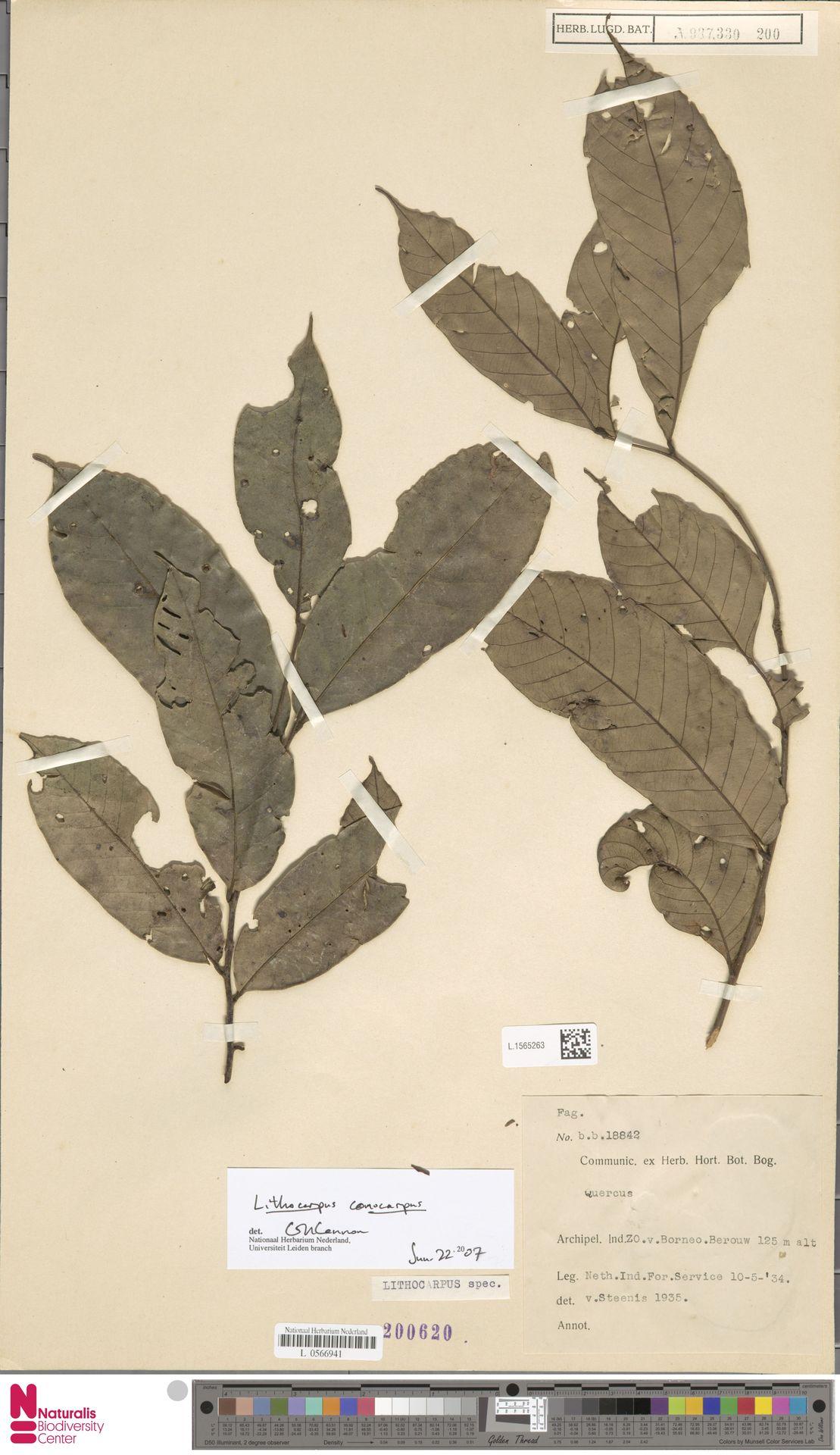 L.1565263 | Lithocarpus conocarpus (Oudem.) Rehder