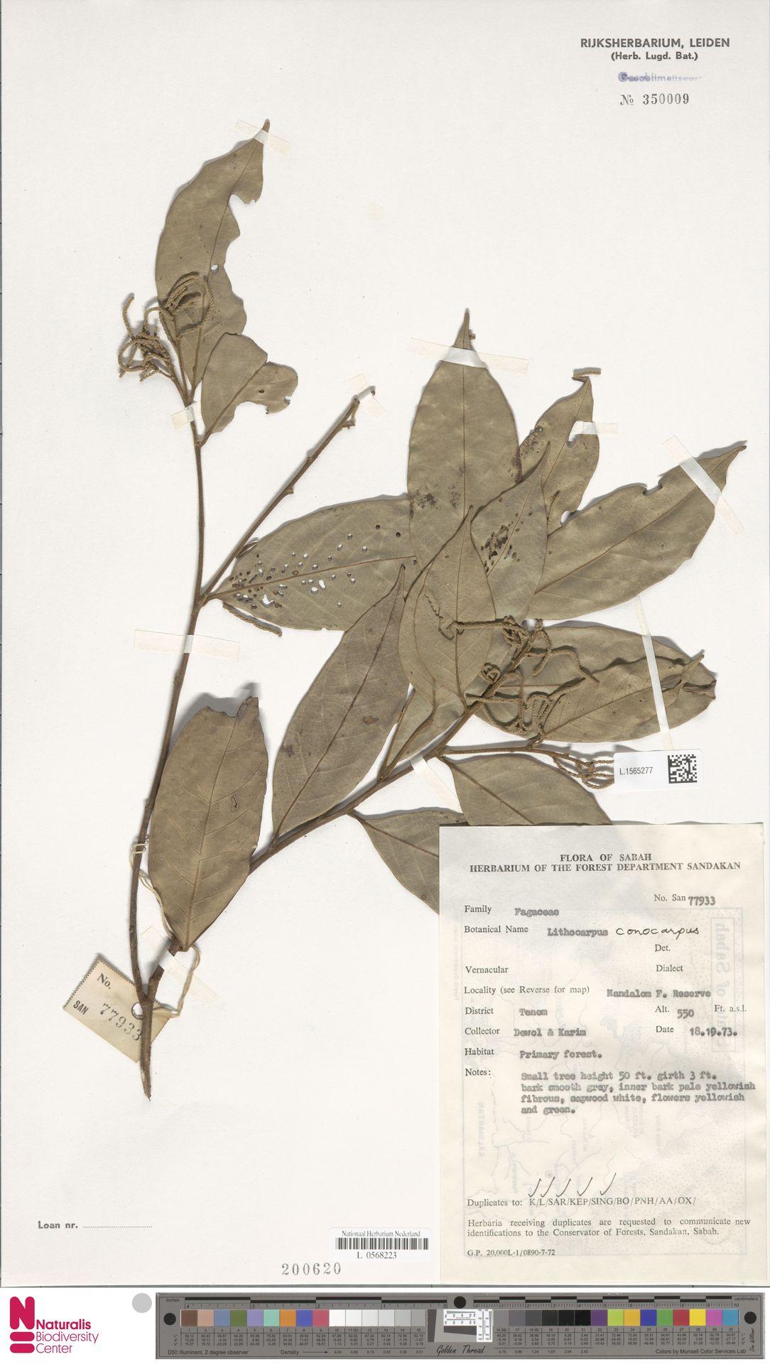 L.1565277 | Lithocarpus conocarpus (Oudem.) Rehder