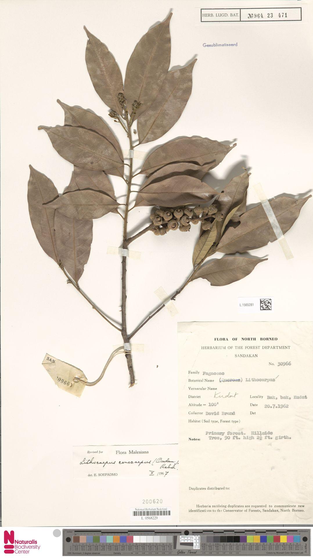 L.1565281   Lithocarpus conocarpus (Oudem.) Rehder