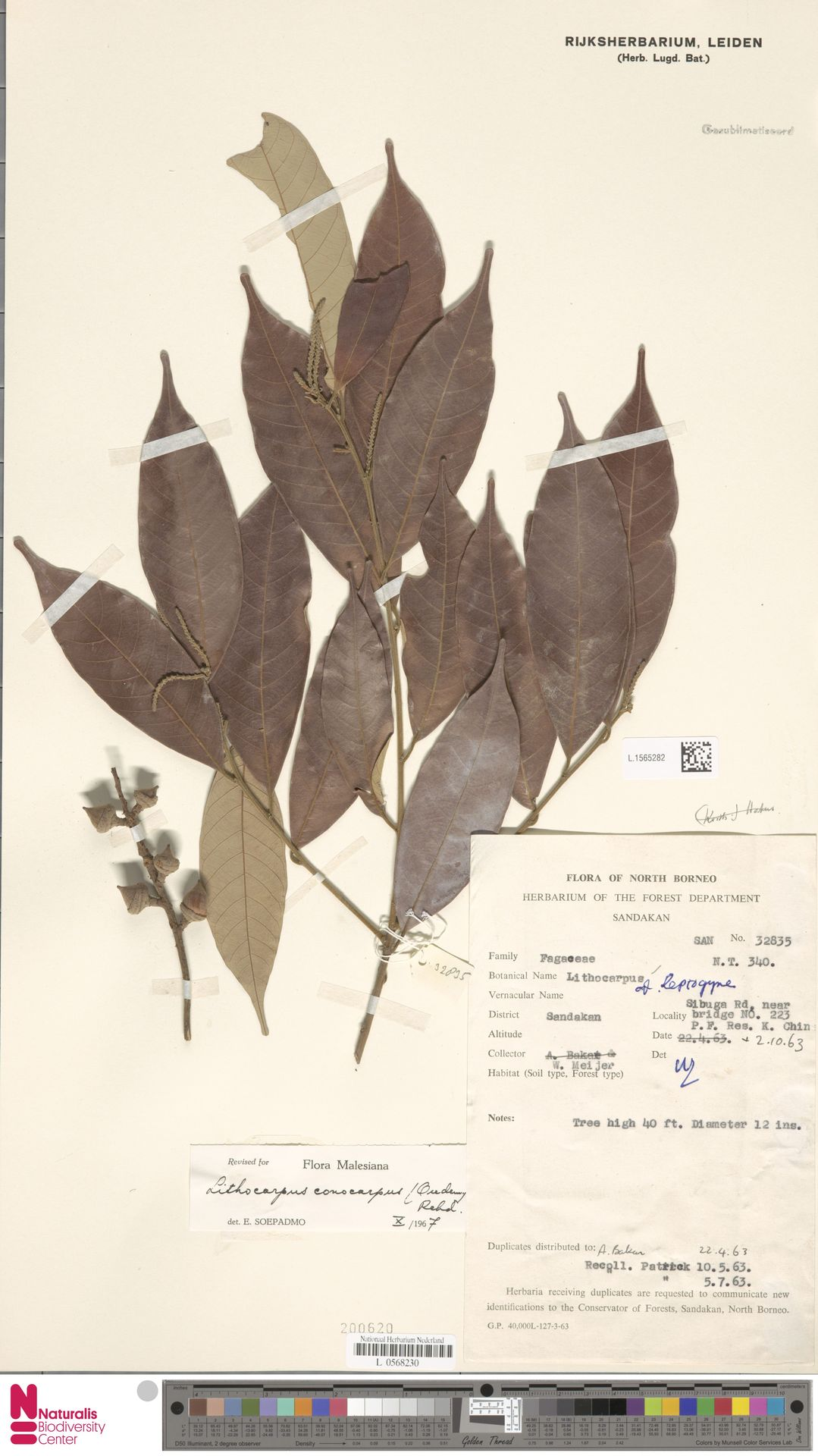 L.1565282   Lithocarpus conocarpus (Oudem.) Rehder