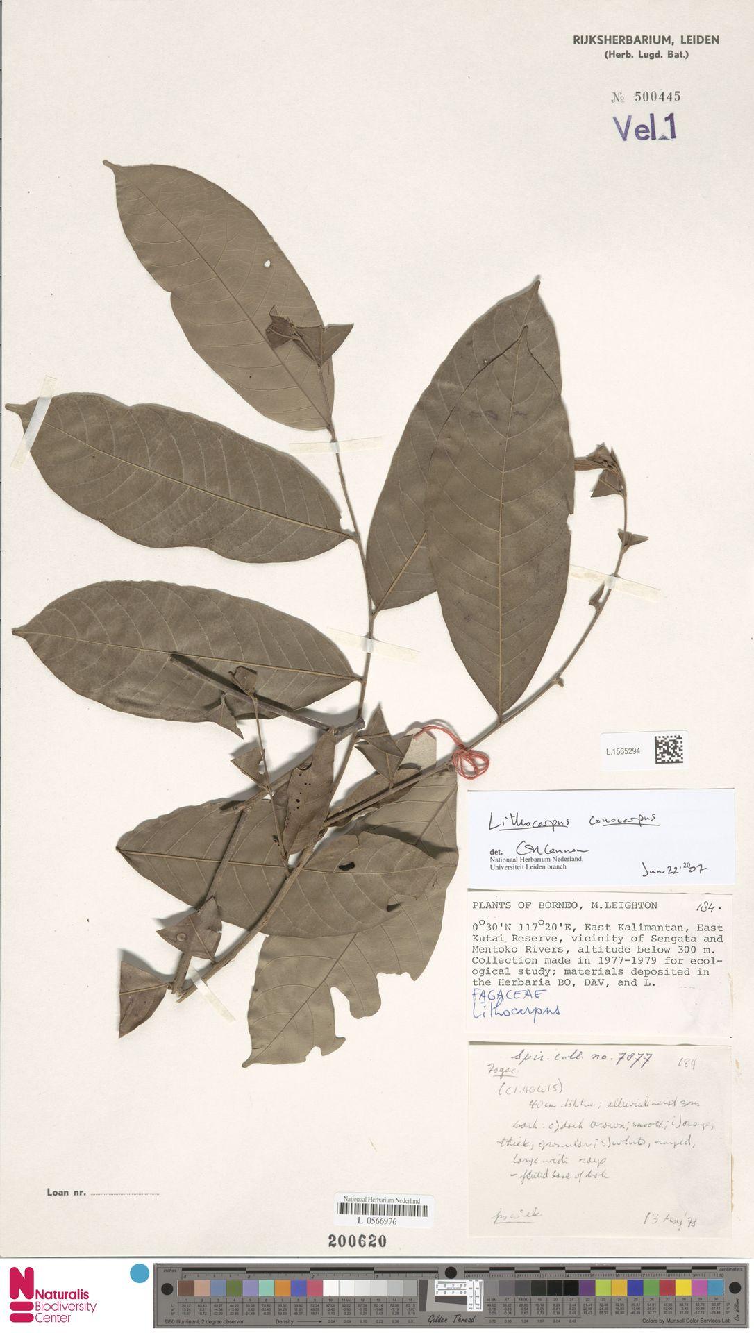 L.1565294 | Lithocarpus conocarpus (Oudem.) Rehder