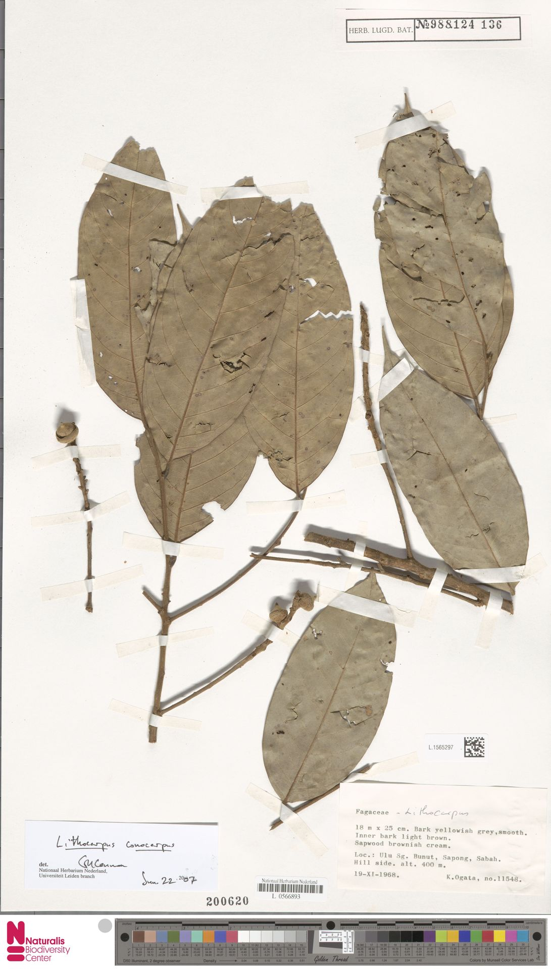 L.1565297   Lithocarpus conocarpus (Oudem.) Rehder