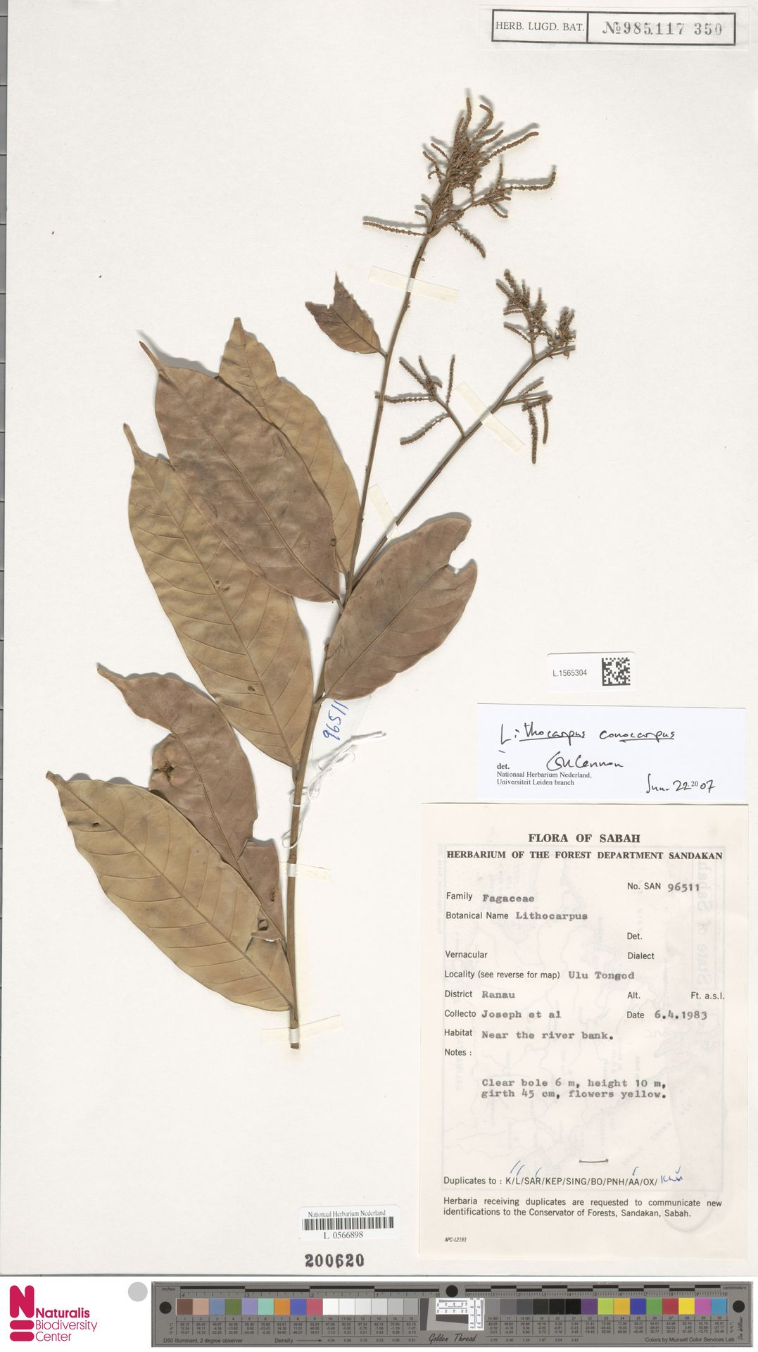 L.1565304 | Lithocarpus conocarpus (Oudem.) Rehder