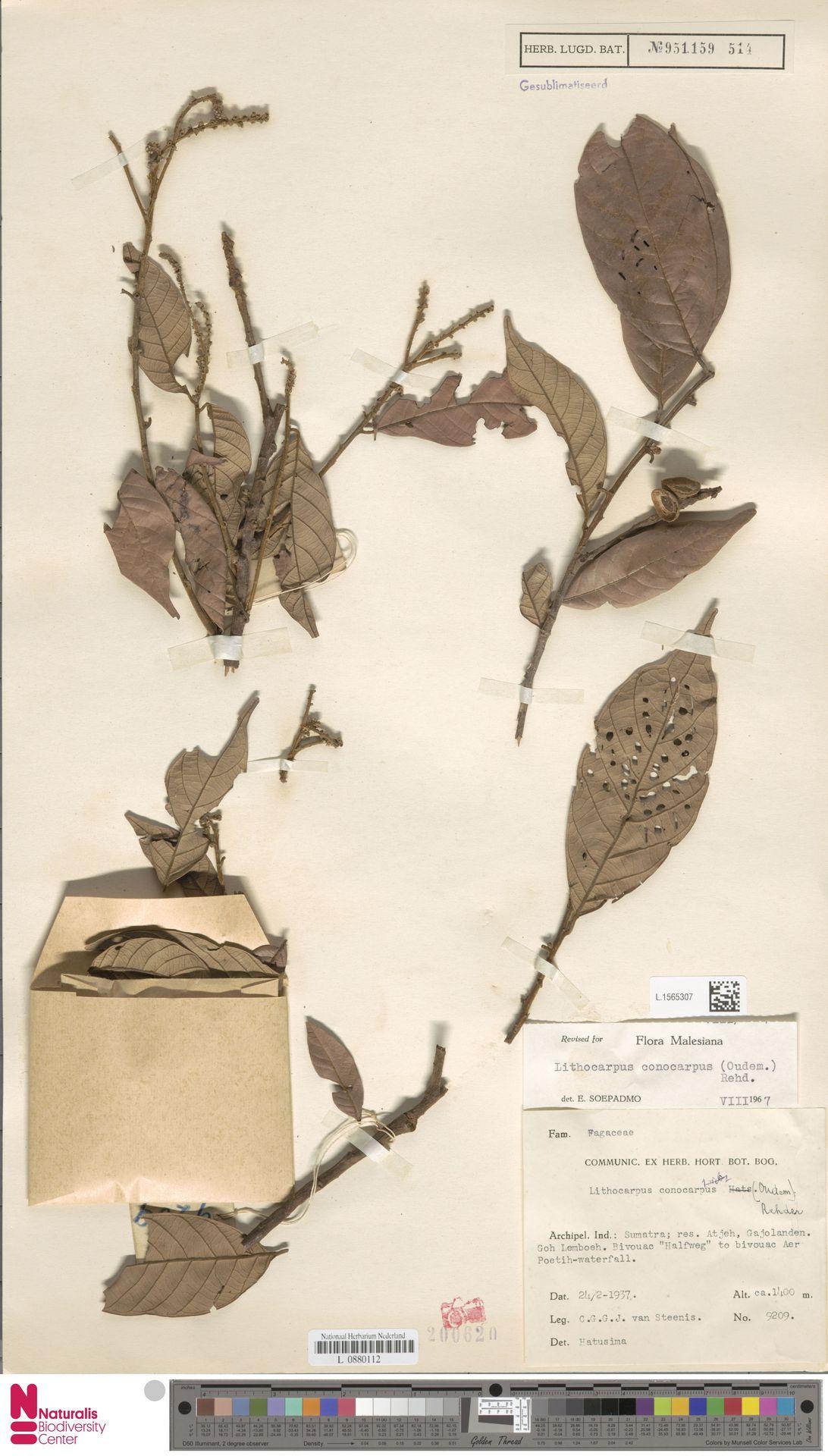 L.1565307 | Lithocarpus conocarpus (Oudem.) Rehder