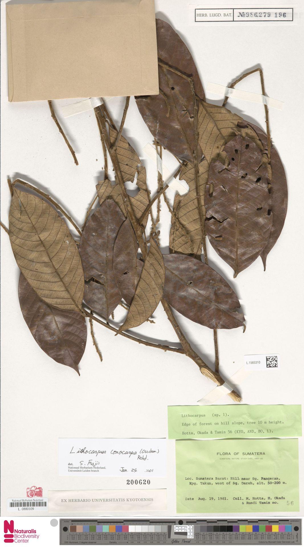 L.1565310   Lithocarpus conocarpus (Oudem.) Rehder