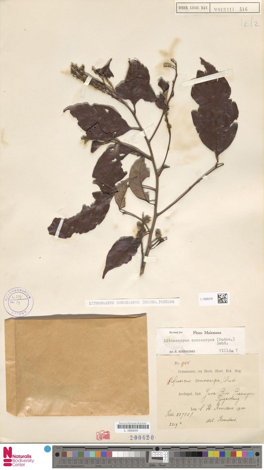 L.1565316   Lithocarpus conocarpus (Oudem.) Rehder
