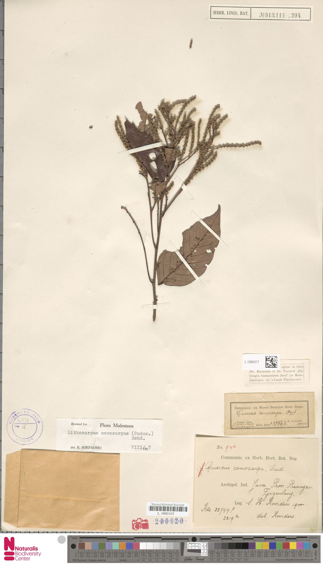 L.1565317   Lithocarpus conocarpus (Oudem.) Rehder