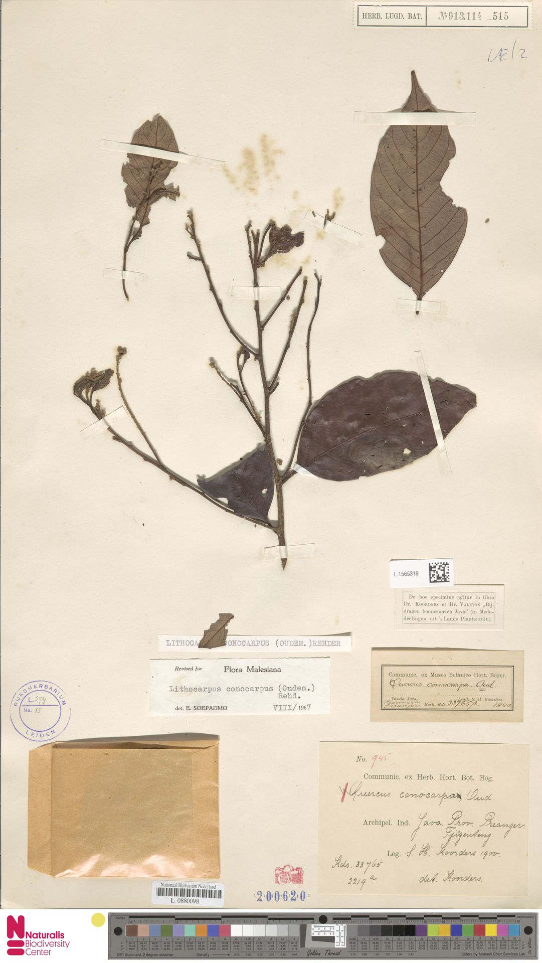 L.1565319 | Lithocarpus conocarpus (Oudem.) Rehder