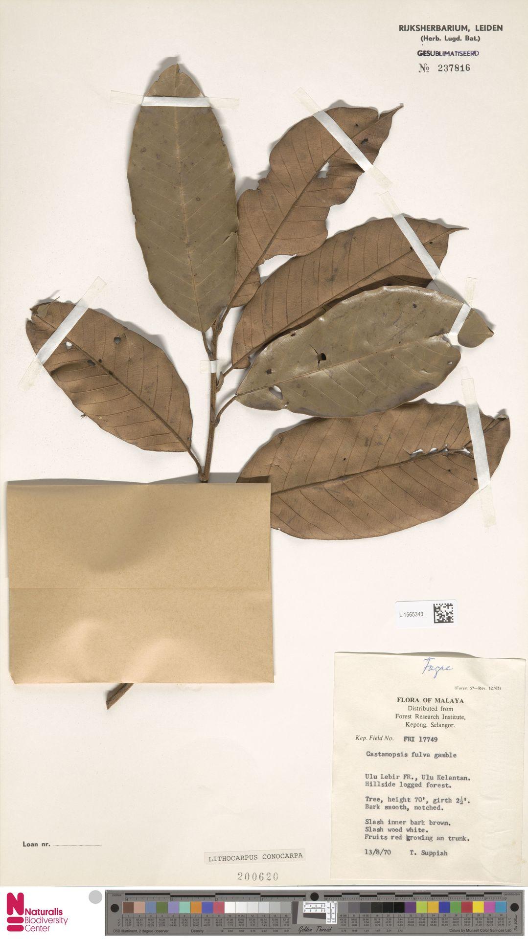 L.1565343 | Lithocarpus conocarpus (Oudem.) Rehder