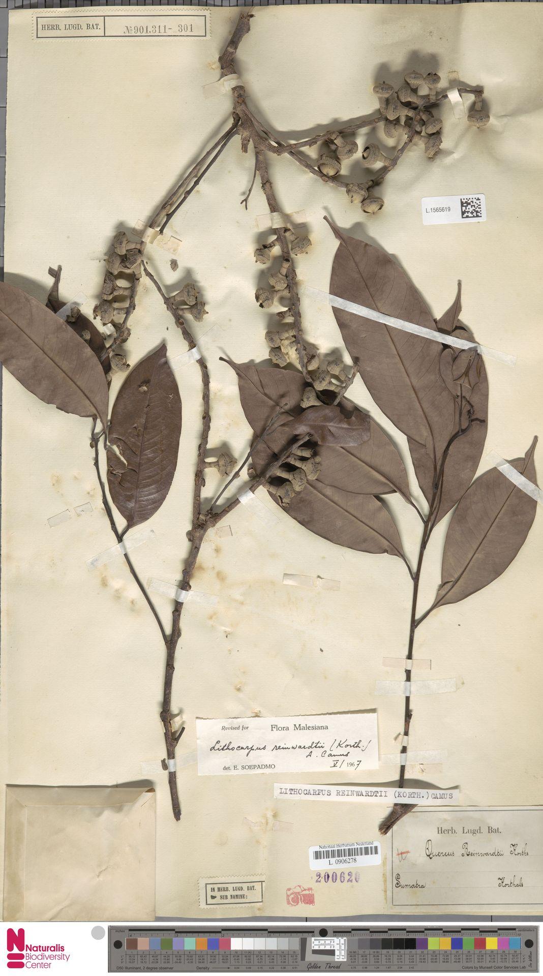 L.1565619 | Lithocarpus reinwardtii (Korth.) A.Camus