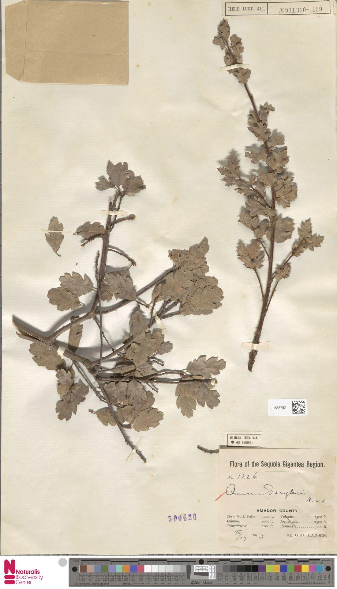 L.1566792 | Quercus douglasii Hook. & Arn.