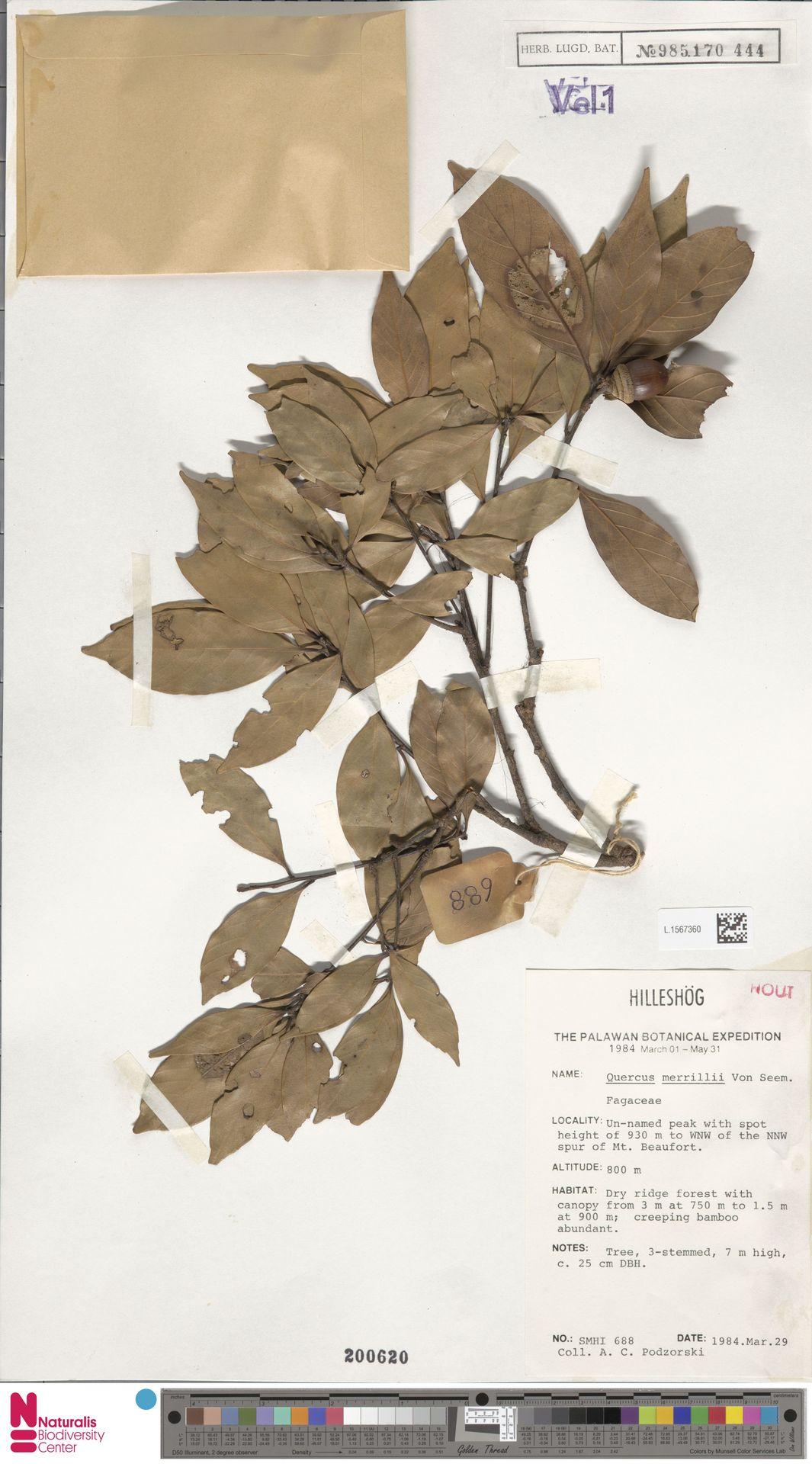 L.1567360 | Quercus merrillii Seemen