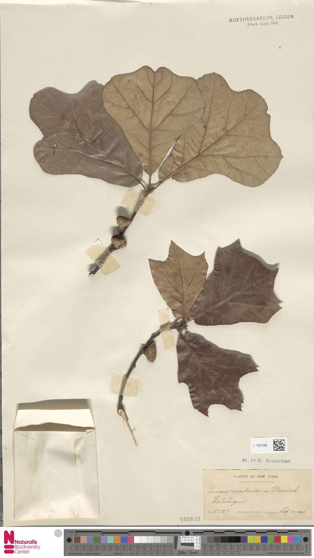 L.1567396 | Quercus marilandica Münchh.
