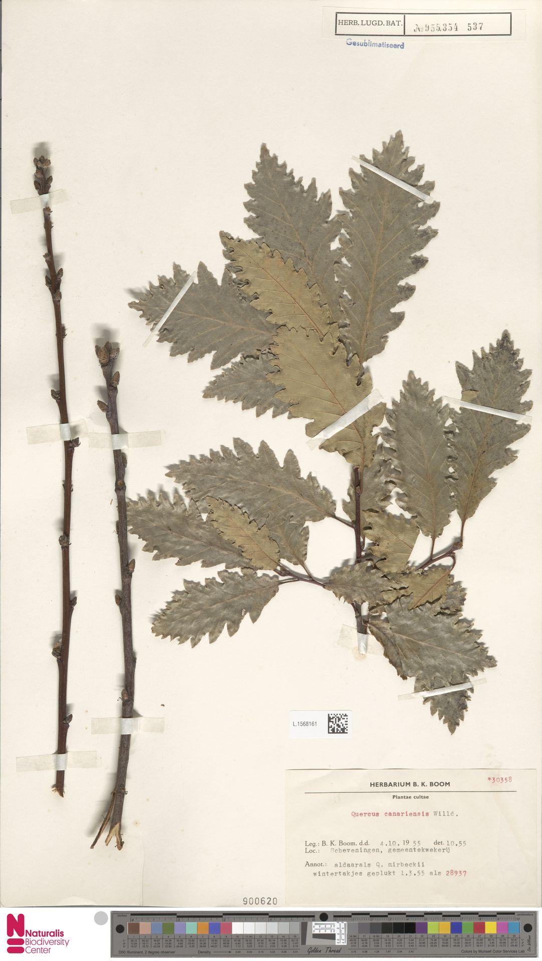 L.1568161   Quercus canariensis Willd.