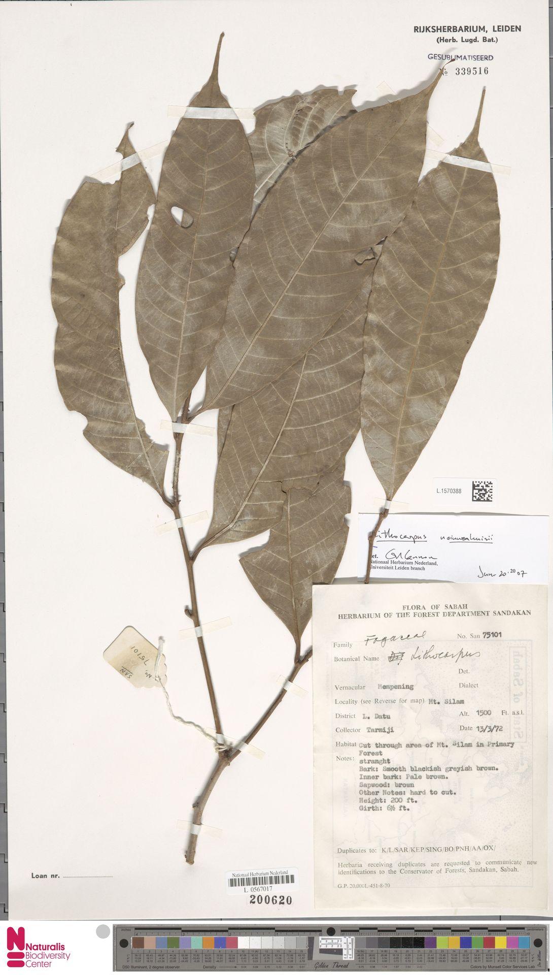 L.1570388 | Lithocarpus nieuwenhuisii (Seem.) A.Camus