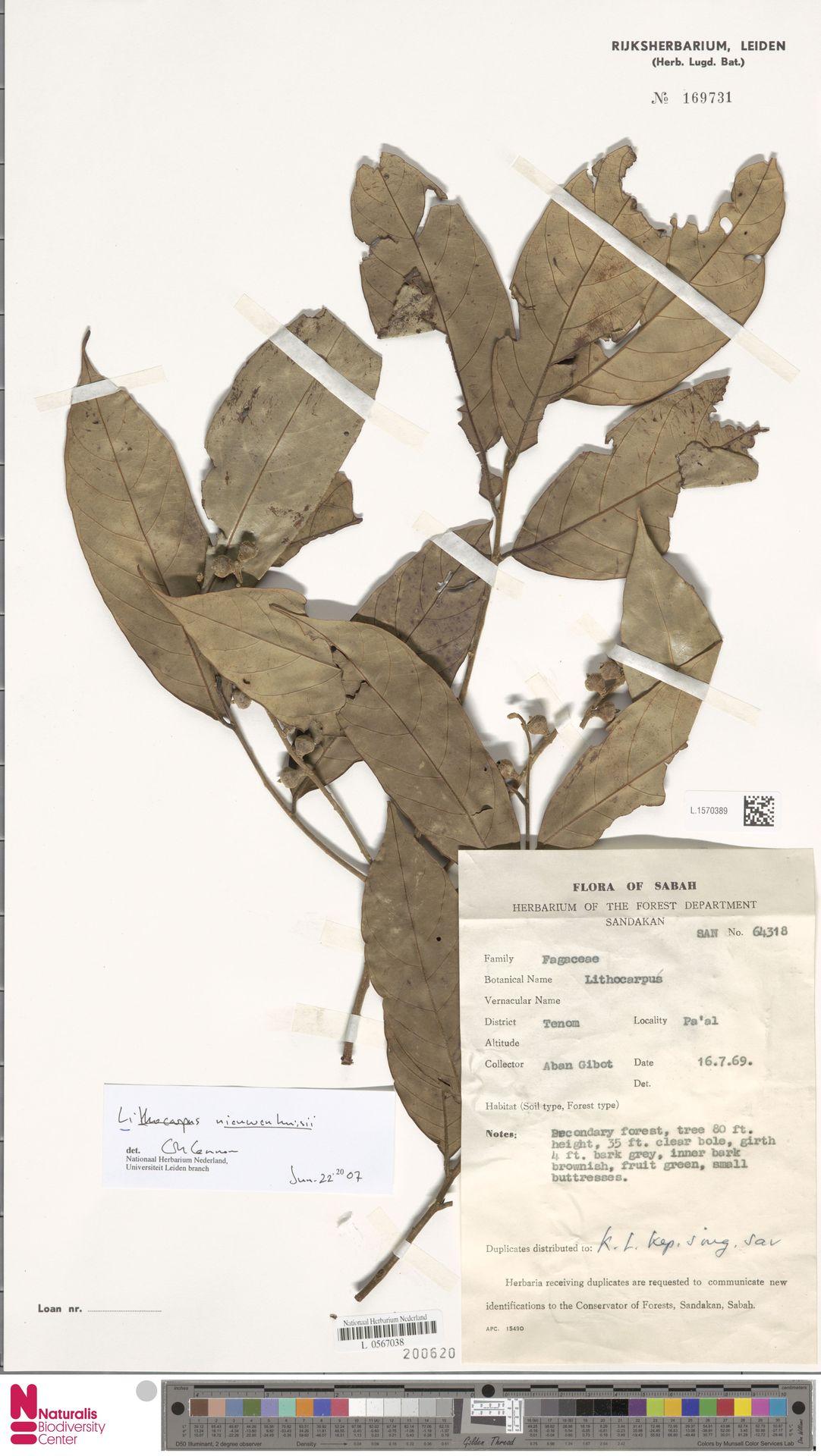 L.1570389   Lithocarpus nieuwenhuisii (Seem.) A.Camus