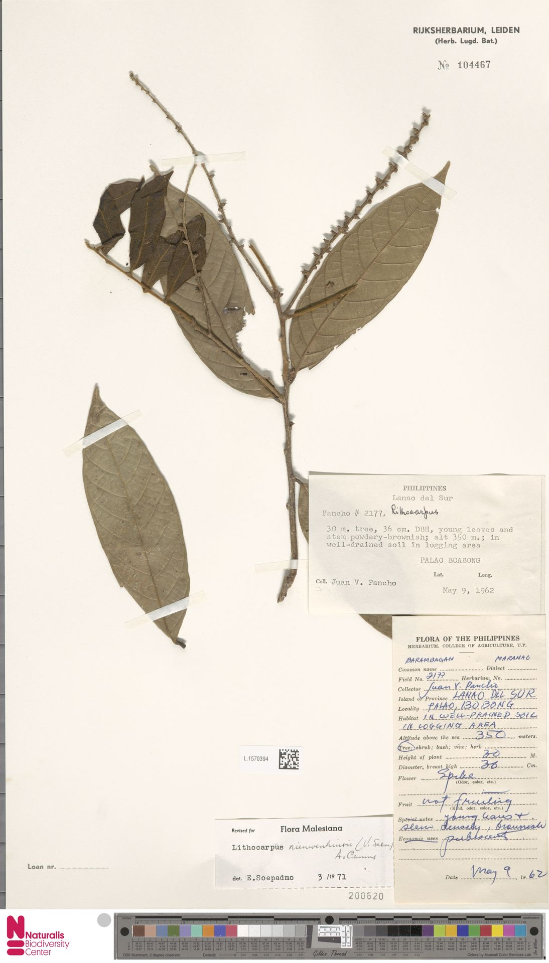 L.1570394 | Lithocarpus nieuwenhuisii (Seem.) A.Camus