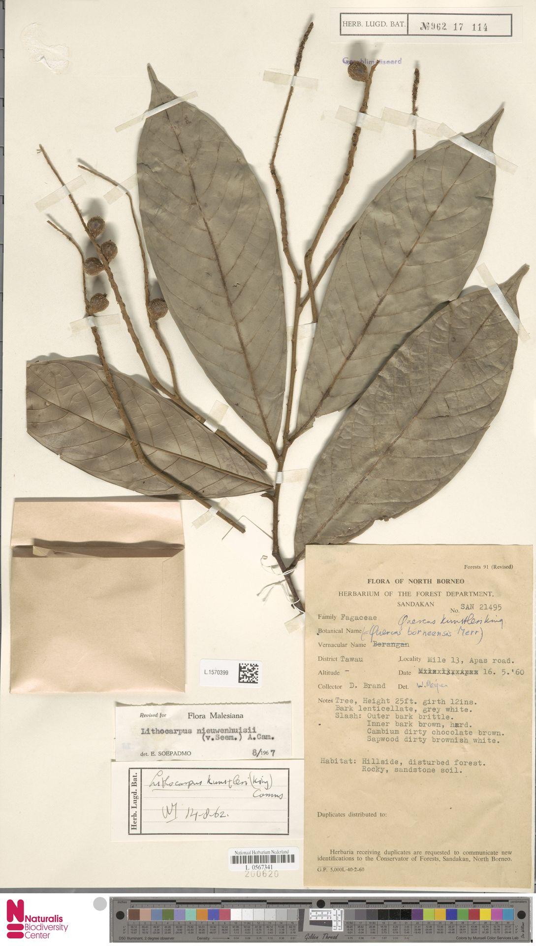 L.1570399 | Lithocarpus nieuwenhuisii (Seem.) A.Camus