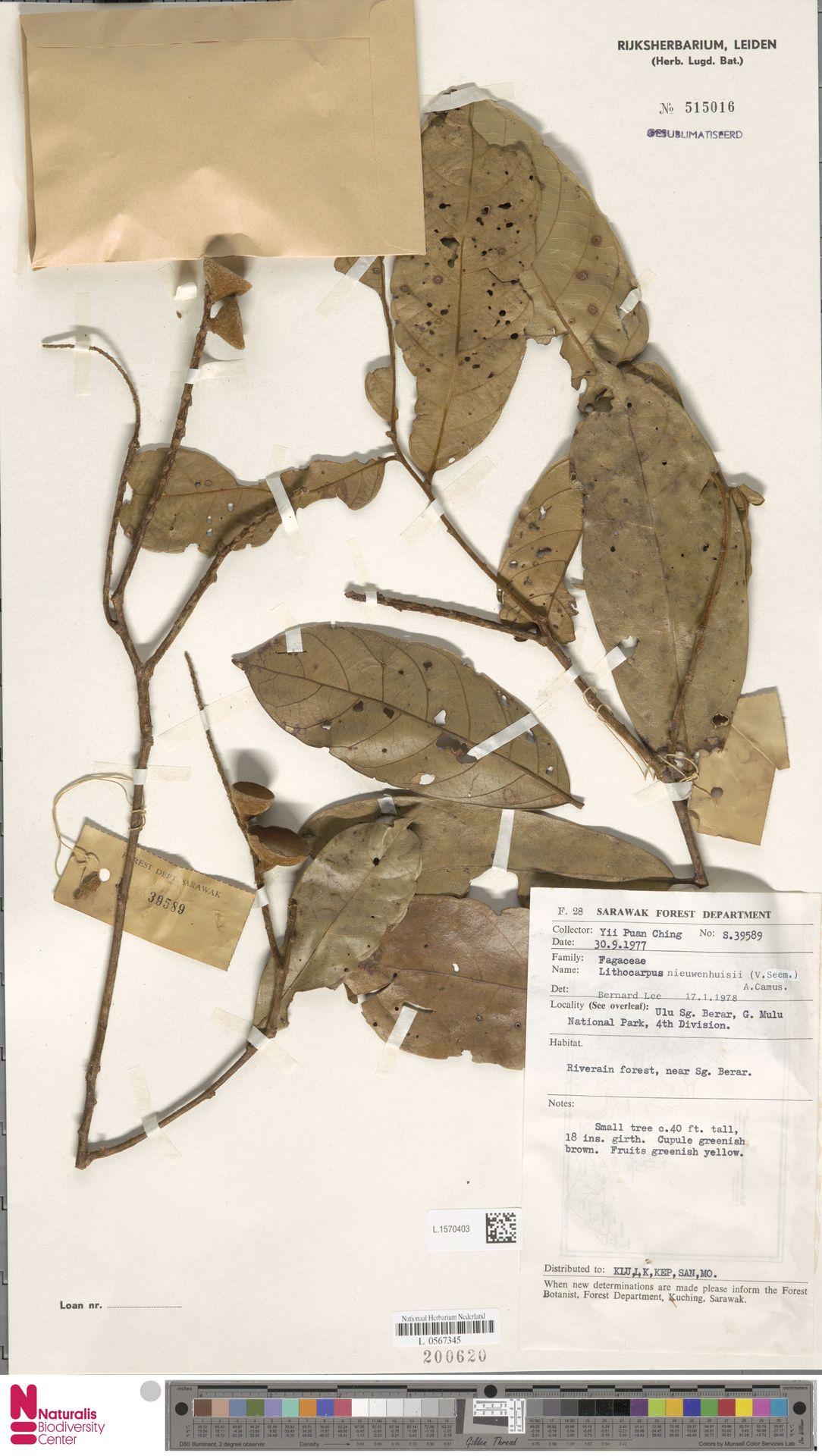 L.1570403 | Lithocarpus nieuwenhuisii (Seem.) A.Camus
